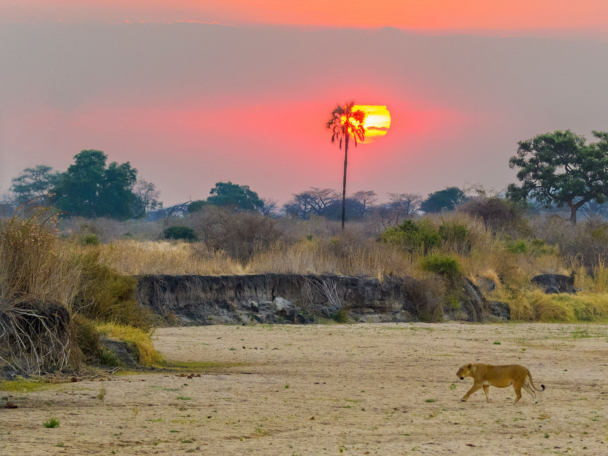 Ruaha National Park, Tanzania:  Glade lioness at sunset.  This image is from Lion Kingdom. [Photo of the day - January 2018]
