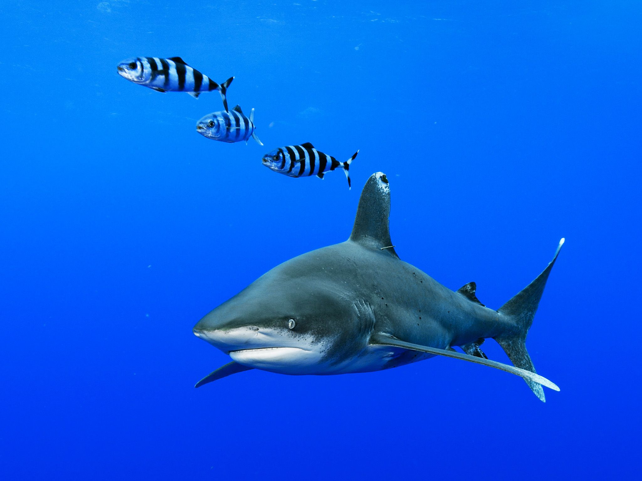The Bahamas:  Oceanic whitetip shark (Carcharhinus longimanus) in the waters off Cat Island in... [Photo of the day - January 2018]