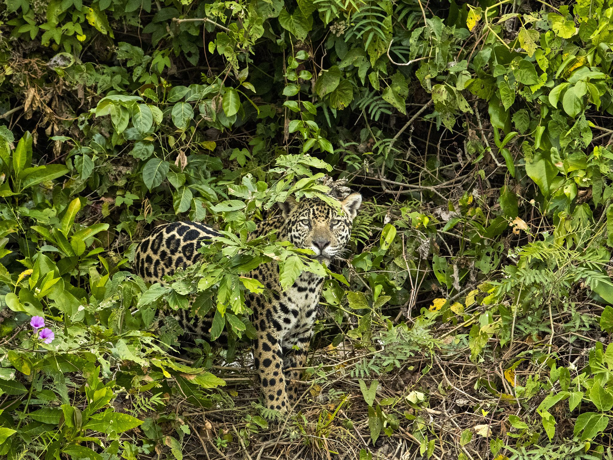 Pantanal, Brazil:  Jaguar in the bushes. This image is from Jaguar vs. Croc. [Photo of the day - January 2018]