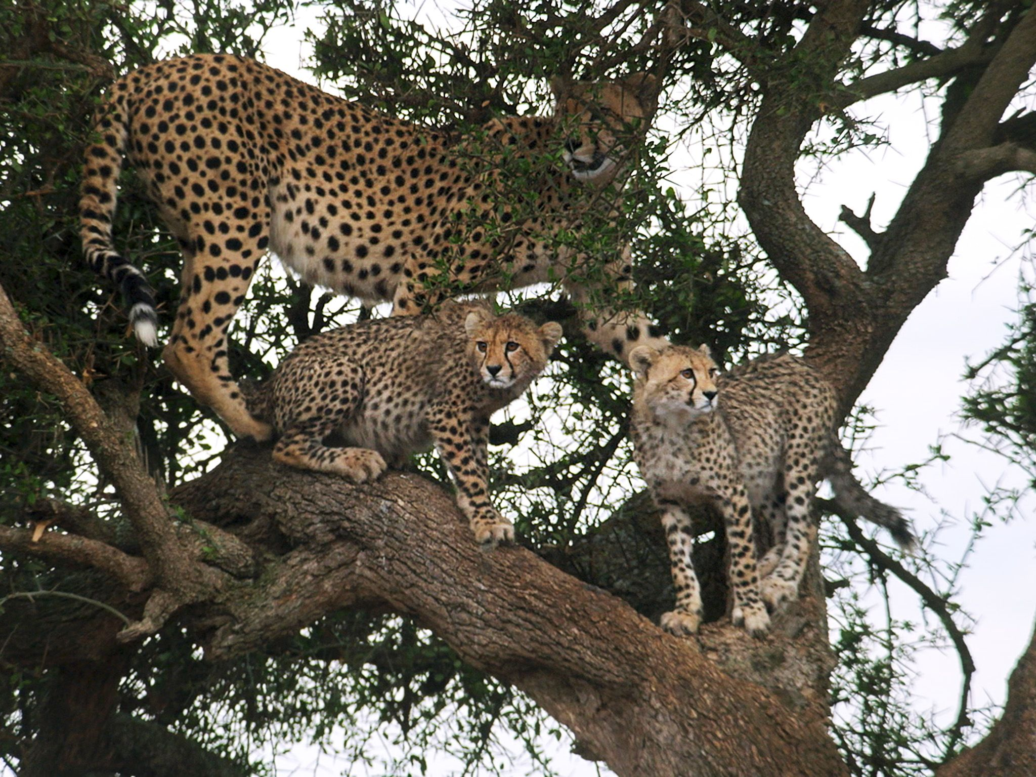 Naboisho, Kenya:  Mother cheetah and cubs wait in tree.  This image is from Man Among Cheetahs. [Photo of the day - January 2018]