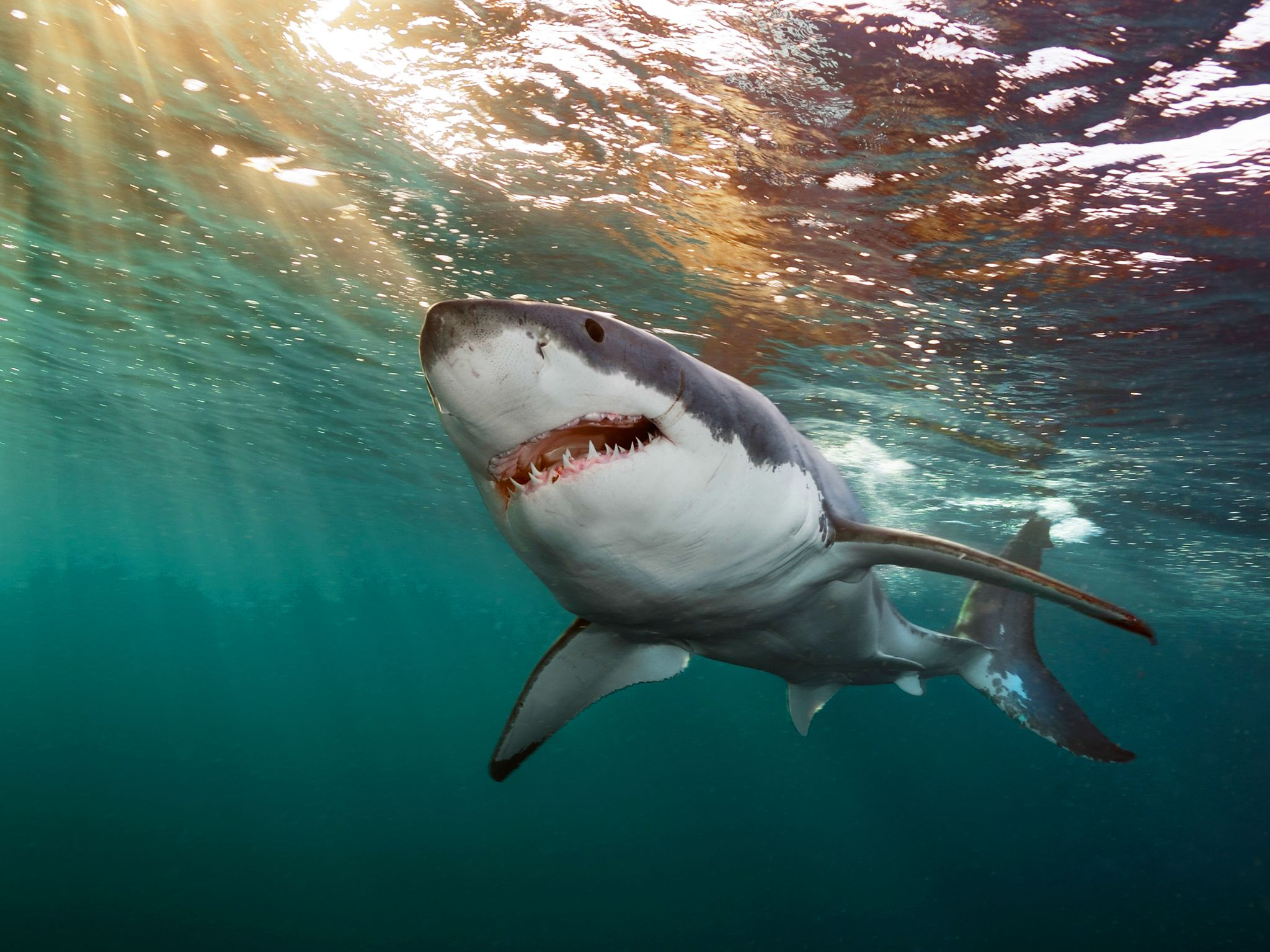 An Great White Shark. This image is from Mission Critical: Animal Avengers. [Photo of the day - January 2018]