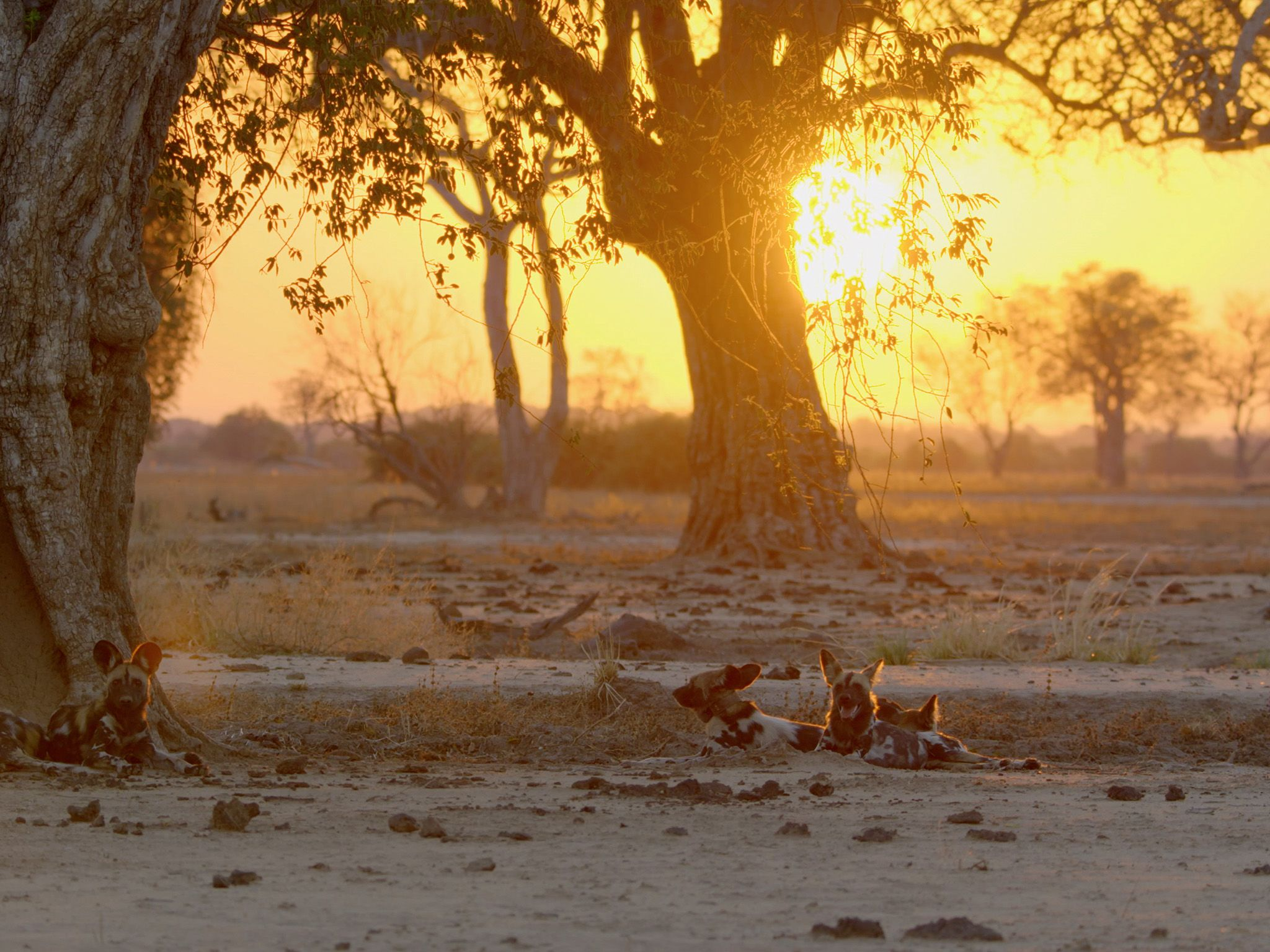 Wild dogs at sunset. This image is from Africa's Hunters. [Photo of the day - 二月 2018]