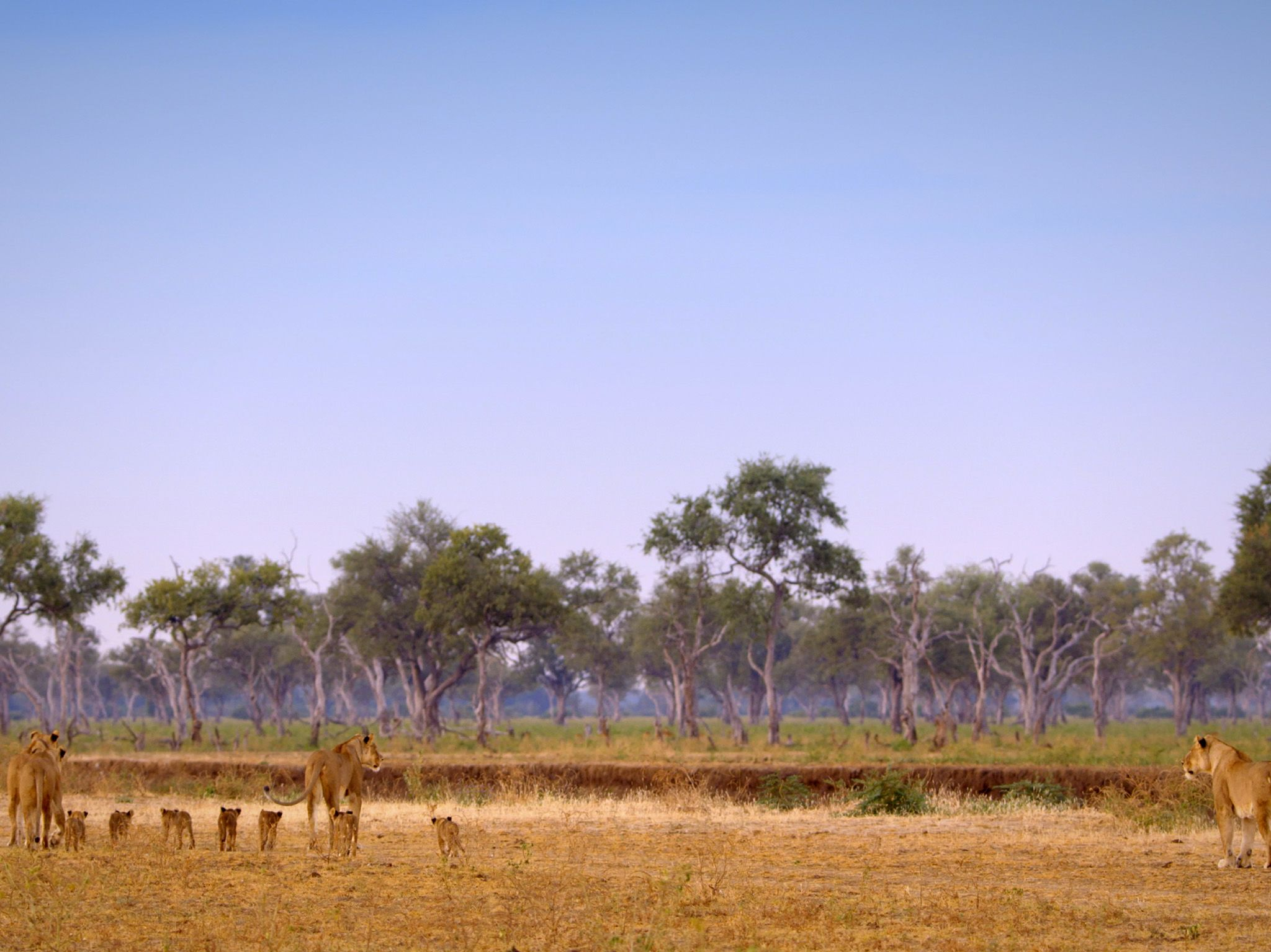 Wide shot of lions. This image is from Africa's Hunters. [Photo of the day - 二月 2018]