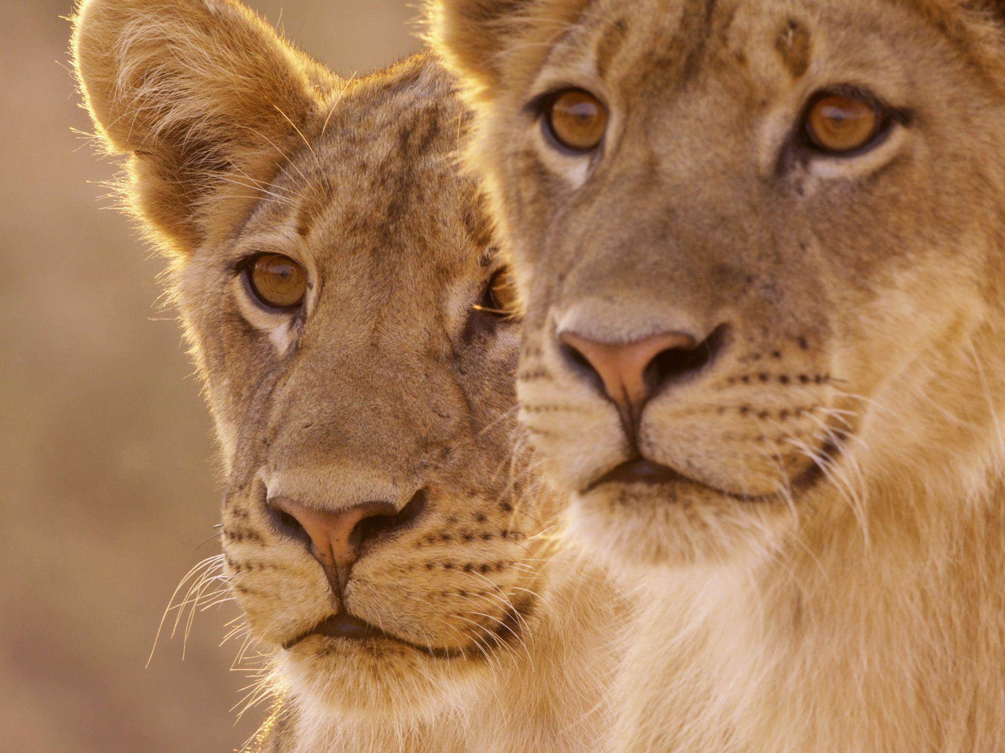 Two male lion cubs. This image is from Africa's Hunters. [Photo of the day - February 2018]