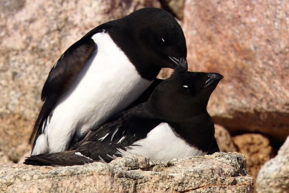 Greenland: Close-up of Little Auks (Alle alle) caring for one another on a cliffside. 