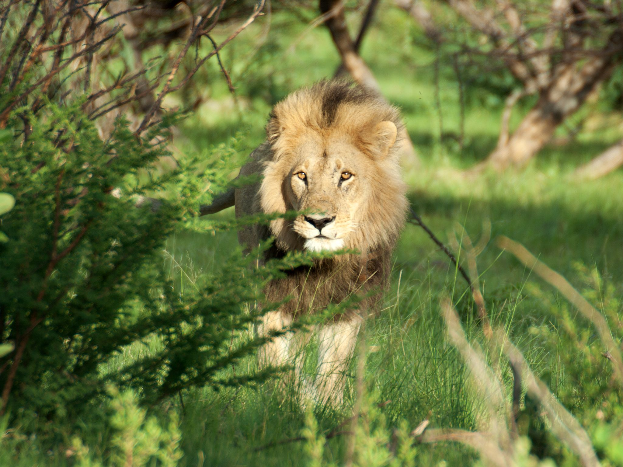 Rwanda: Male lion in lush Rwanda grassland. This image is from Return of the Lion. [Photo of the day - February 2018]