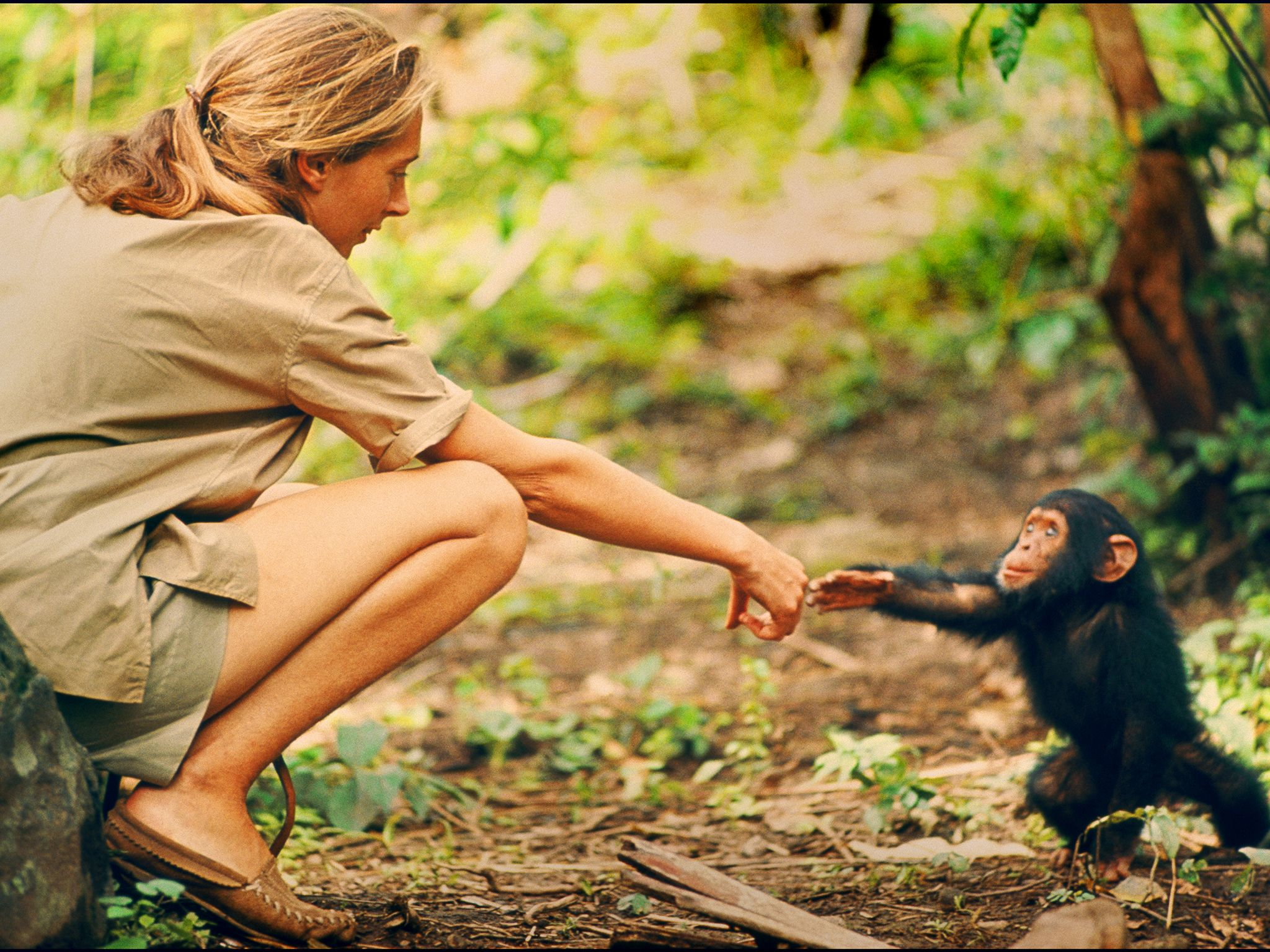 Gombe, Tanzania:  Jane Goodall and infant chimpanzee Flint reach out to touch each other's... [Photo of the day - March 2018]