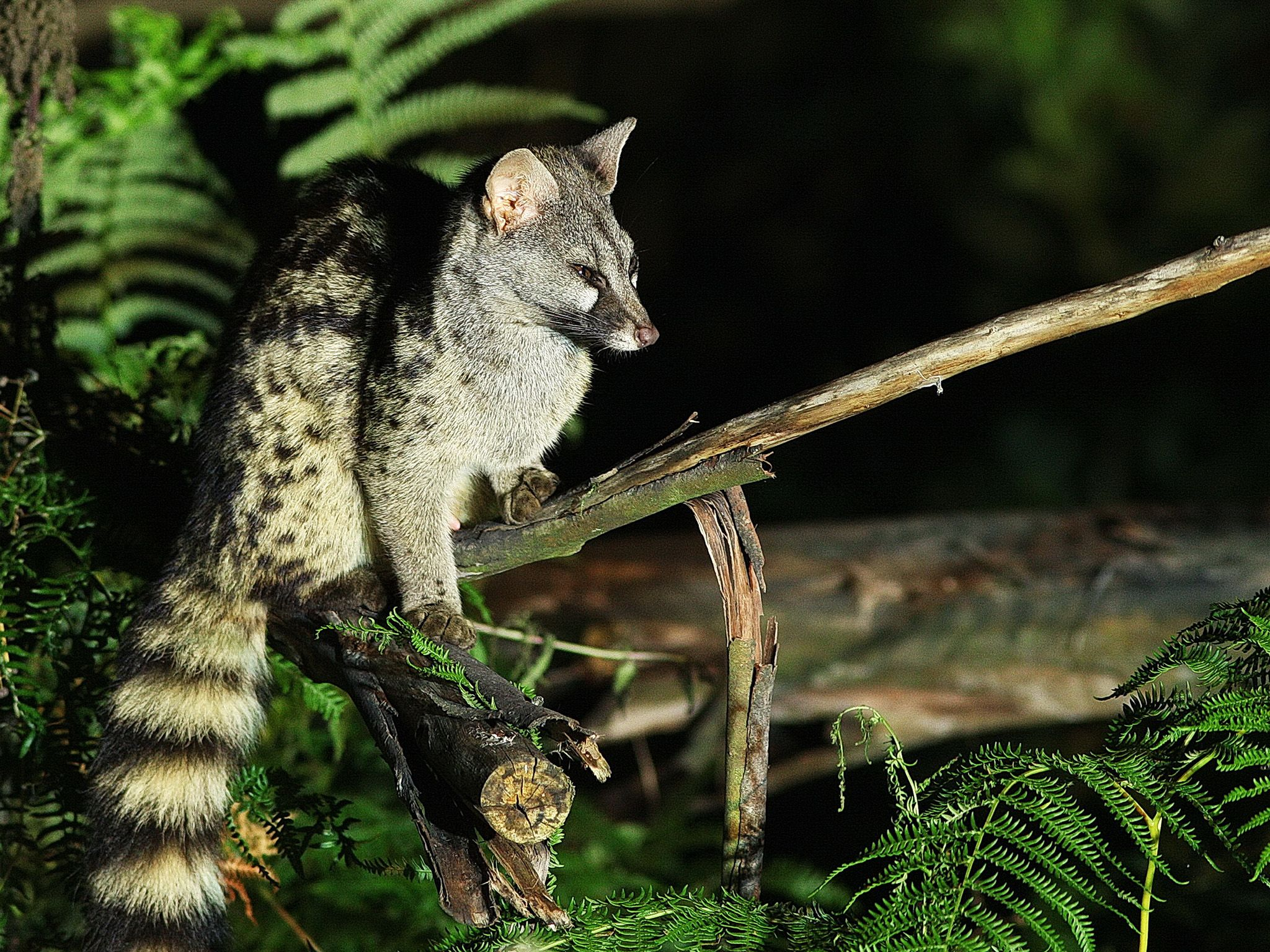 Spain:  A genet.  This image is from Wild Little Cats. [Photo of the day - March 2018]