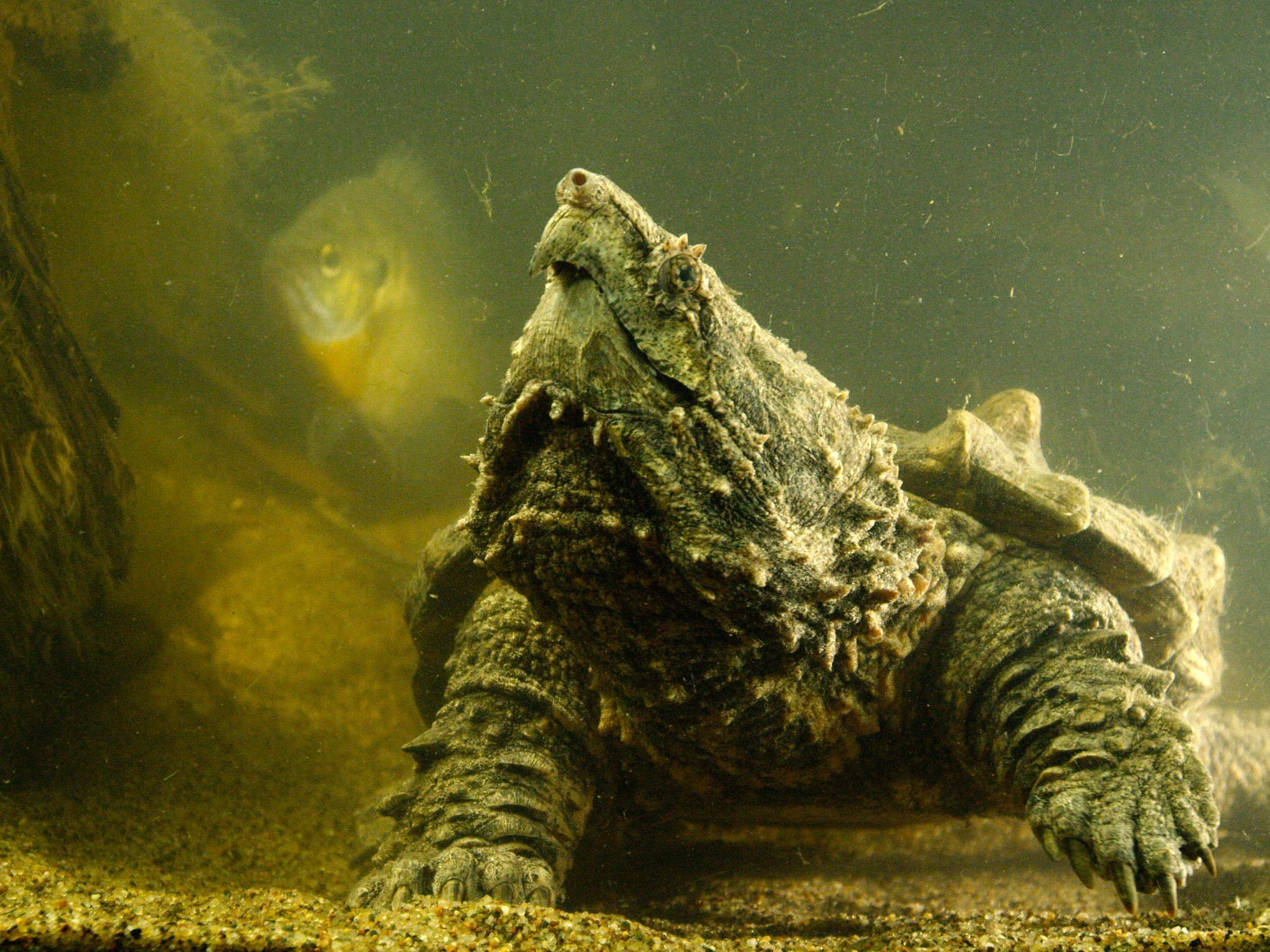 Wildlife Discovery Center, IL:  An Alligator Snapping Turtle looking to capture prey.  This... [Photo of the day - March 2018]