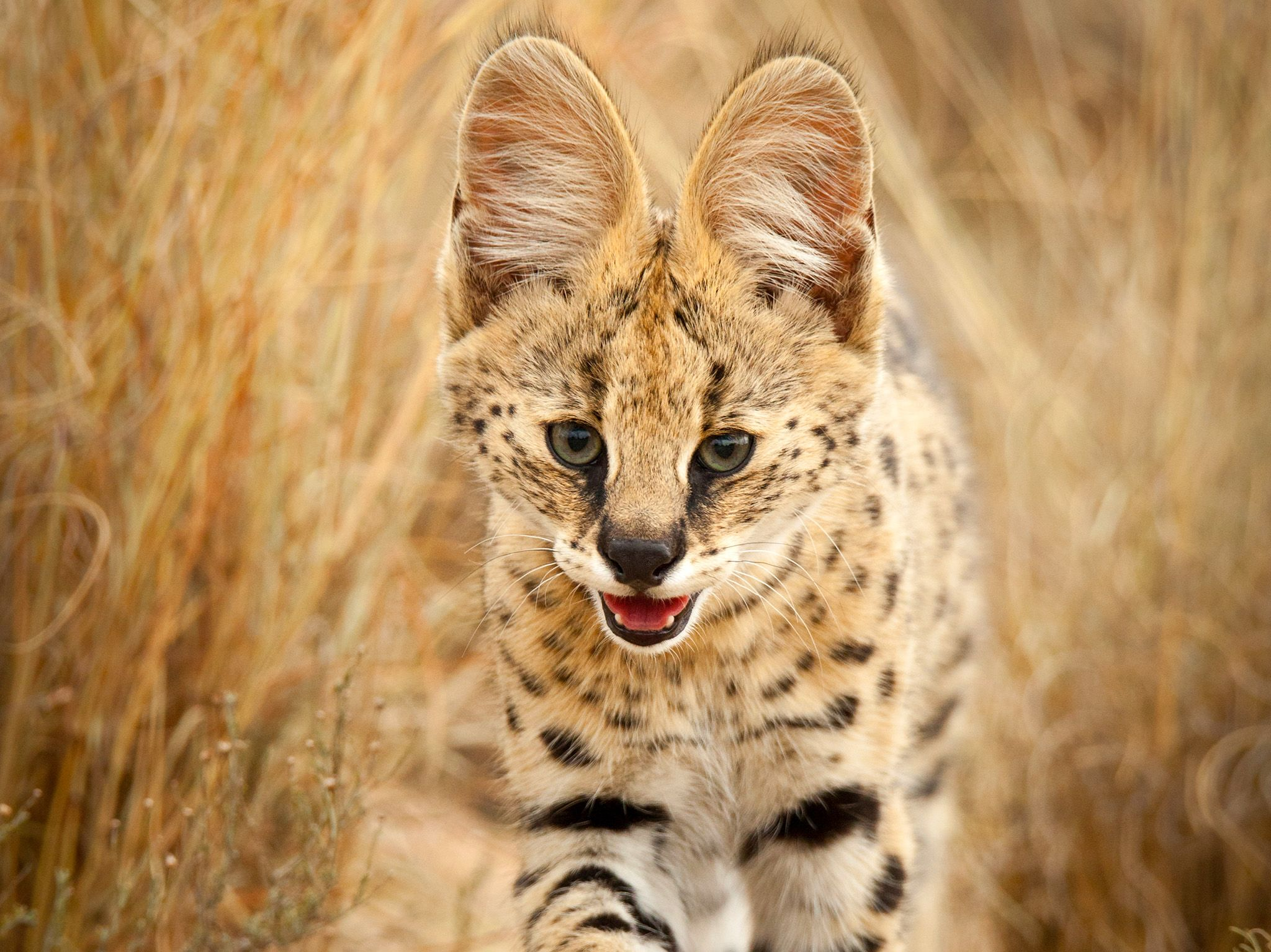 South Africa:  A serval walking through tall grass.  This image is from Wild Little Cats. [Photo of the day - March 2018]