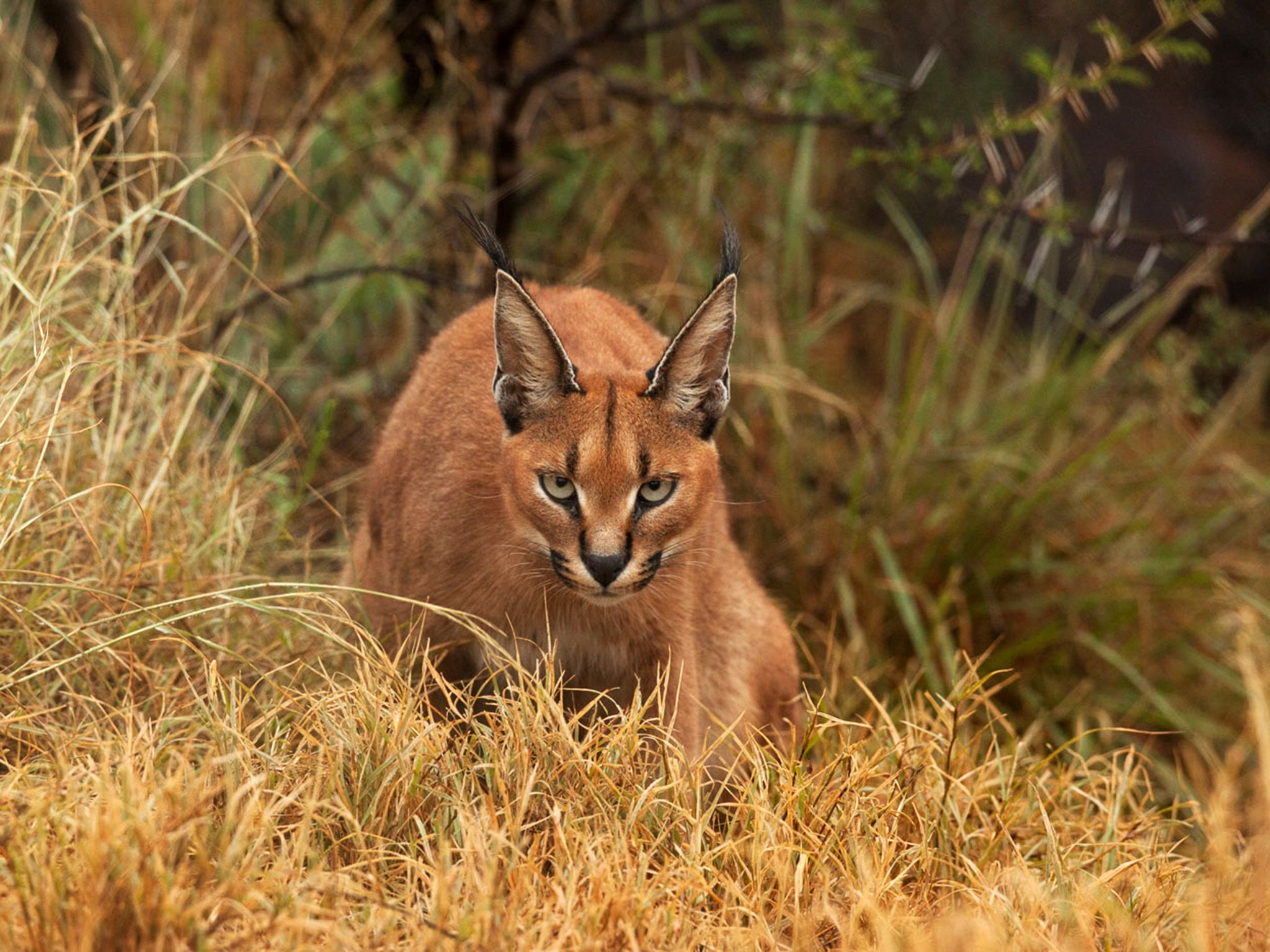 South Africa:  A caracal.  This image is from Wild Little Cats. [Photo of the day - March 2018]