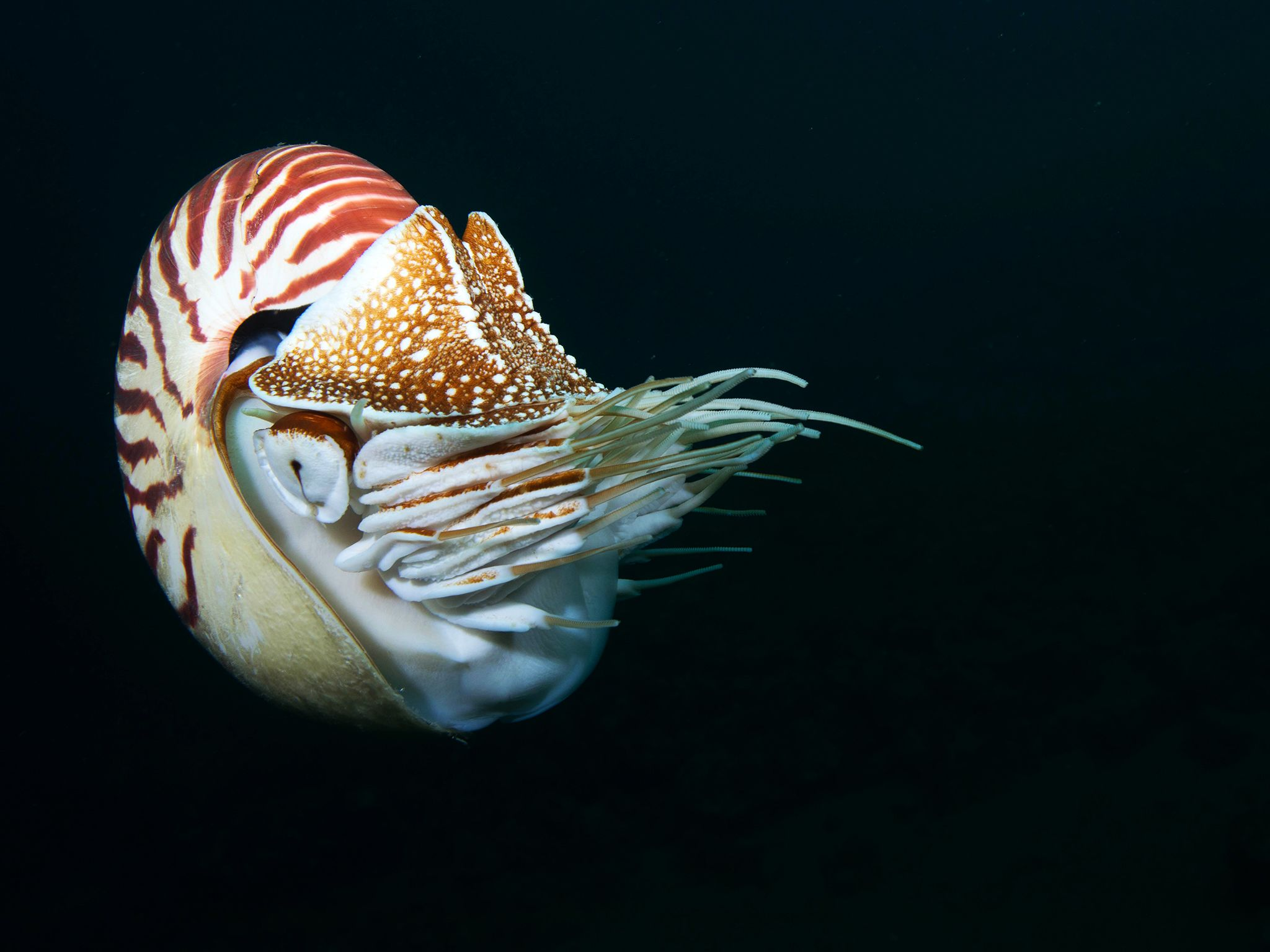 Chambered nautilus. This image is from Untamed Philippines. [Photo of the day - April 2018]