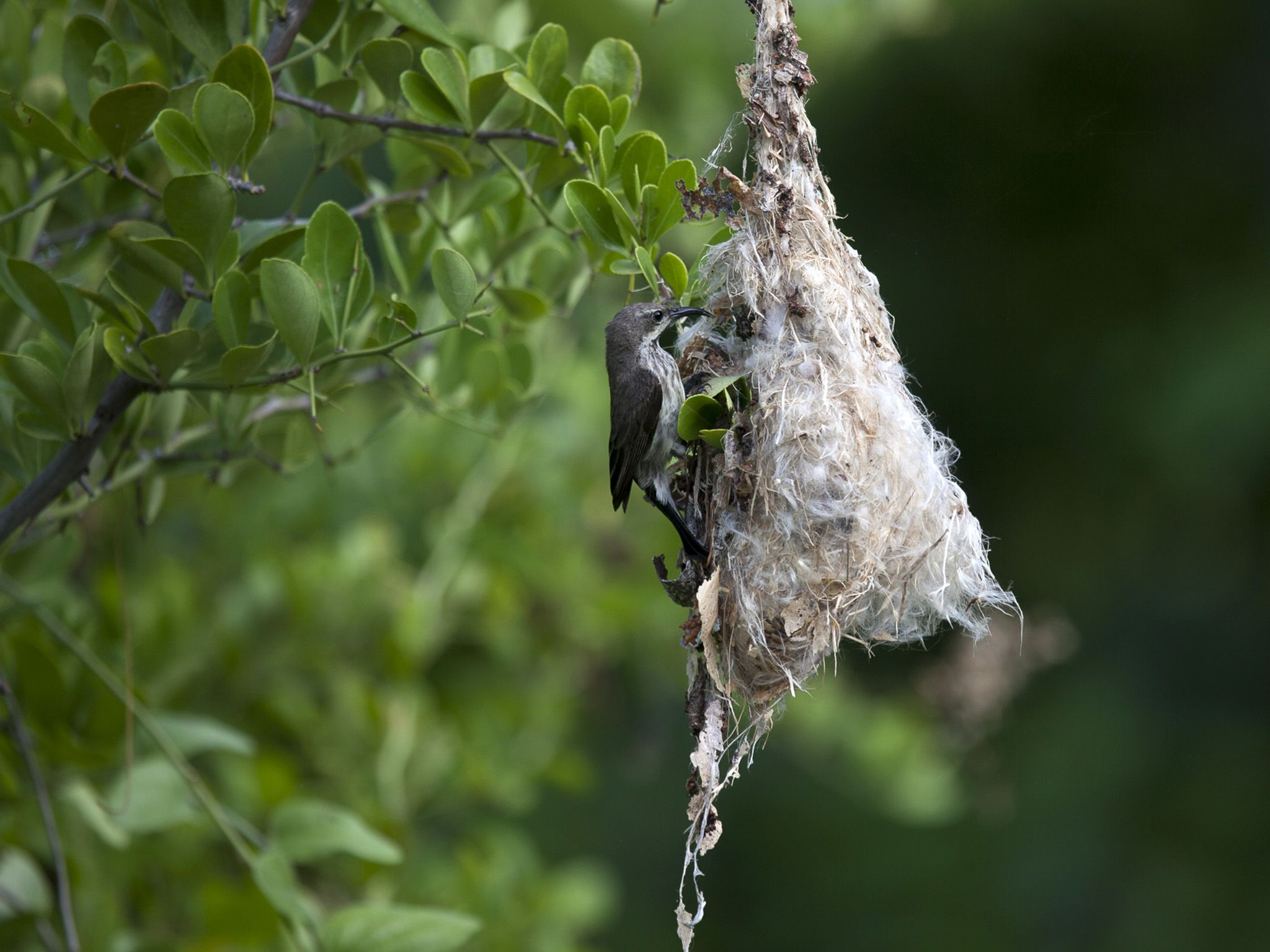 Chumbe Island, Zanzibar:  Sunbird nesting.  This image is from Jane Goodall: Saving Paradise. [Photo of the day - April 2018]