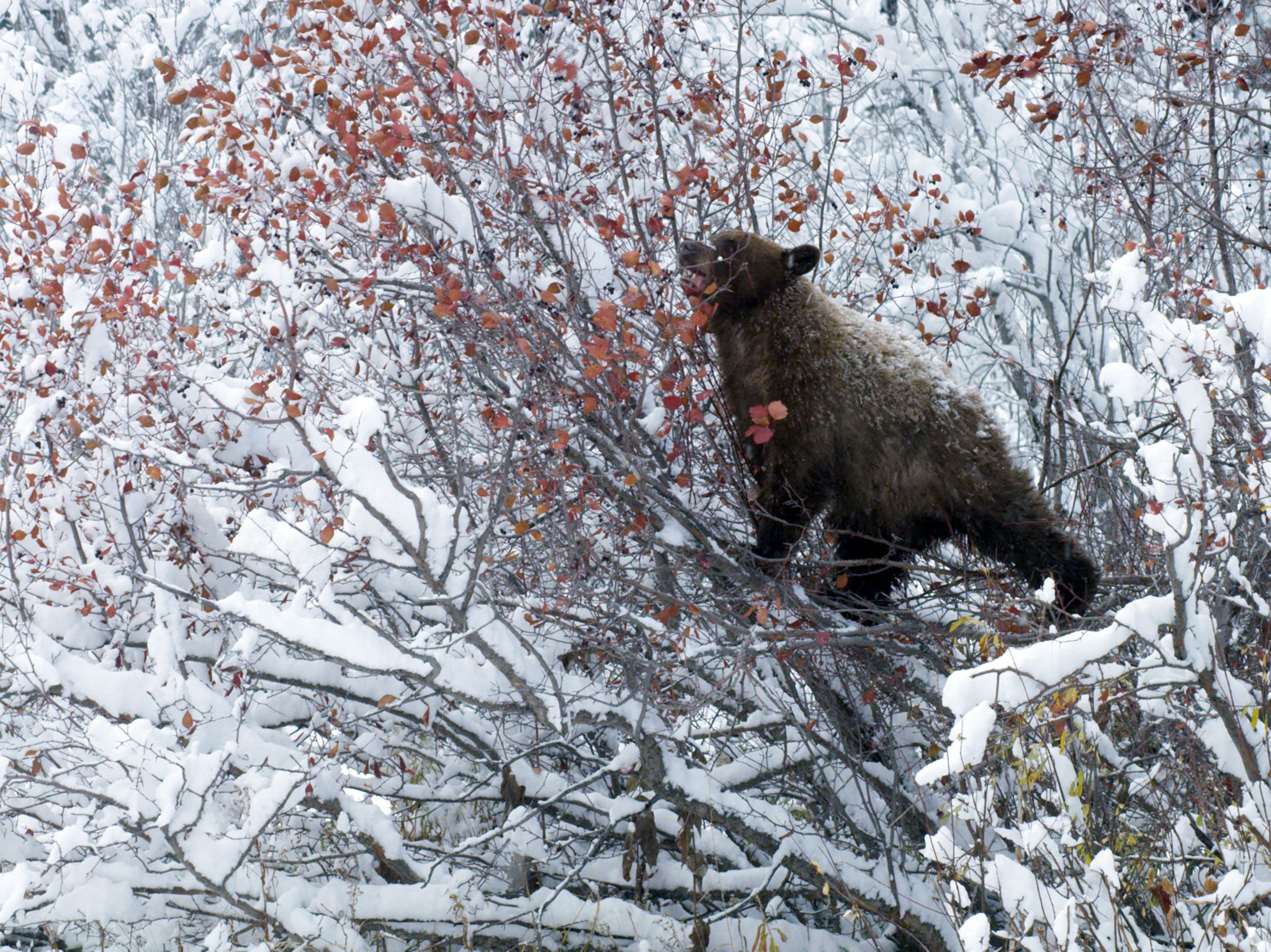 Jackson, WY:  A black bear foraging in snow covered Hawthorn tree This image is from America's... [Photo of the day - April 2018]