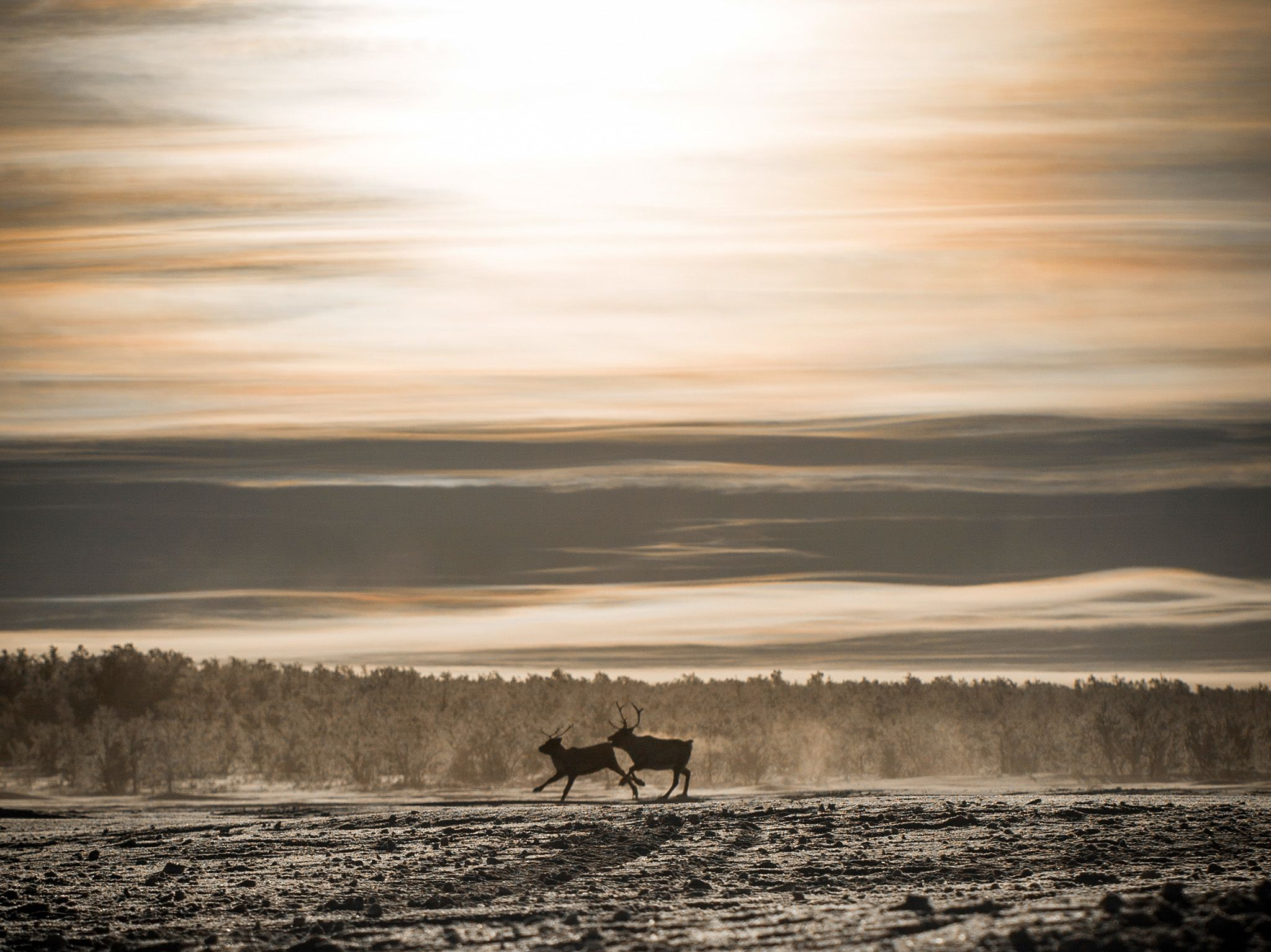 Kautokeino, Norway:  Two reindeer on the snowy expanse in Kautokeino. Not much life thrives here... [Photo of the day - April 2018]