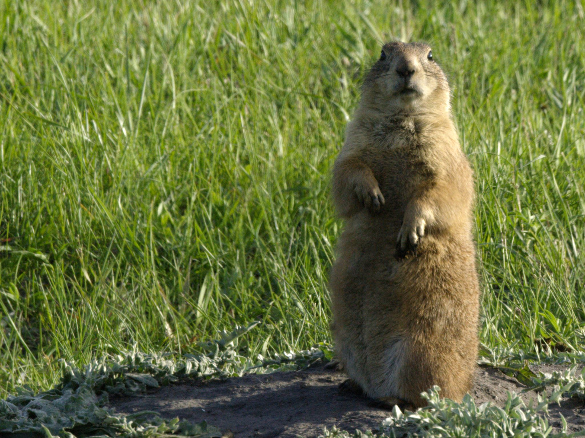 Custer State Park, SD:  A Prairie Dog on its hind legs keeping an eye out for predators. This... [Photo of the day - April 2018]