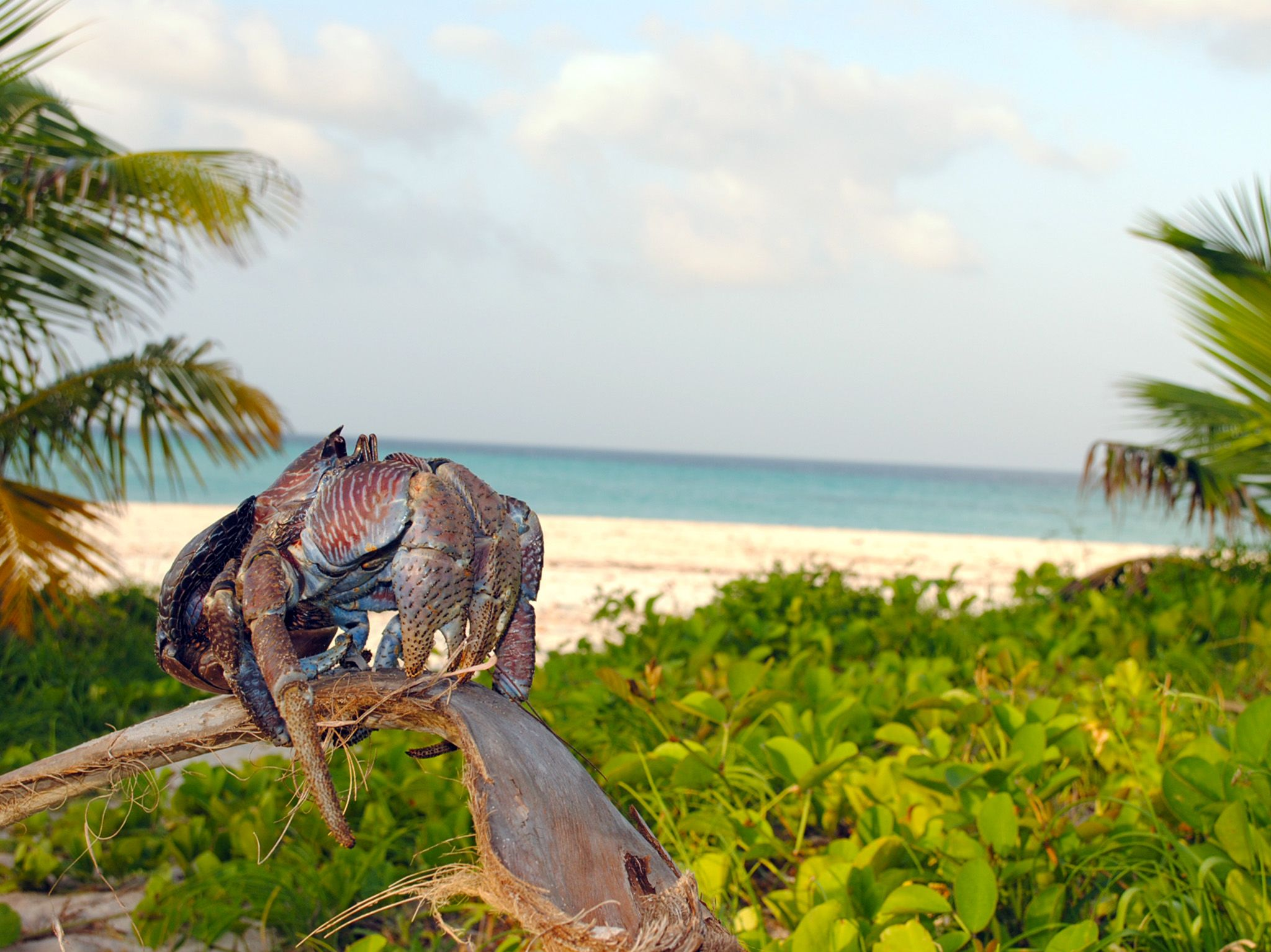 Fanjove Island, Tanzania:  A coconut crab on a palm branch.  This image is from Jane Goodall:... [Photo of the day - April 2018]