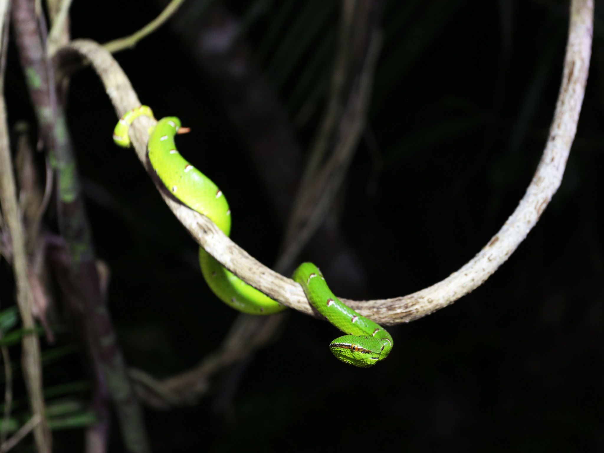 Palawan, Philippines:  Palawan pit viper. This image is from Untamed Philippines. [Photo of the day - April 2018]