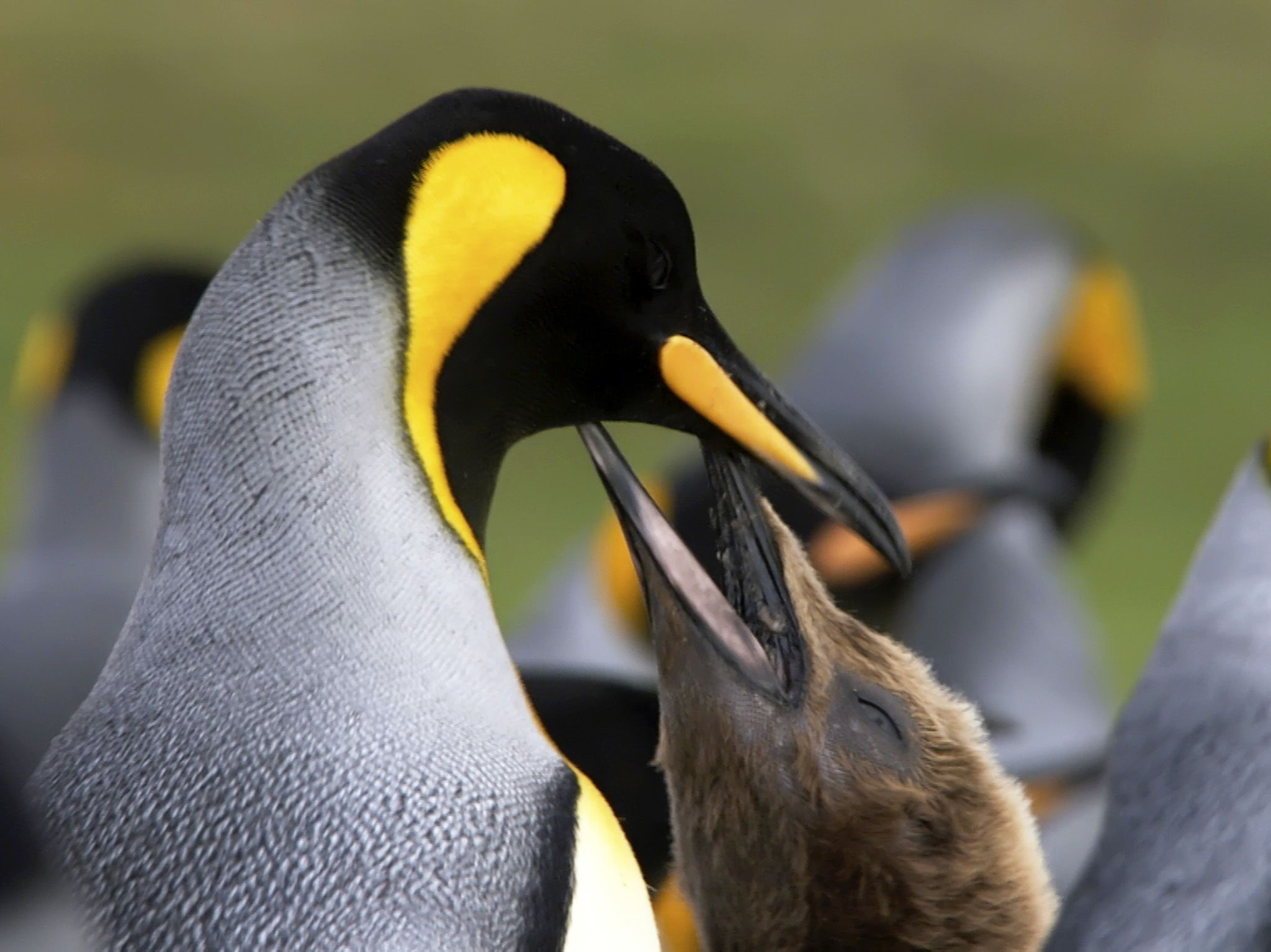Tierra Del Fuego, Chile:  Young King Penguin begging for food. This image is from Wild Chile. [Photo of the day - May 2018]