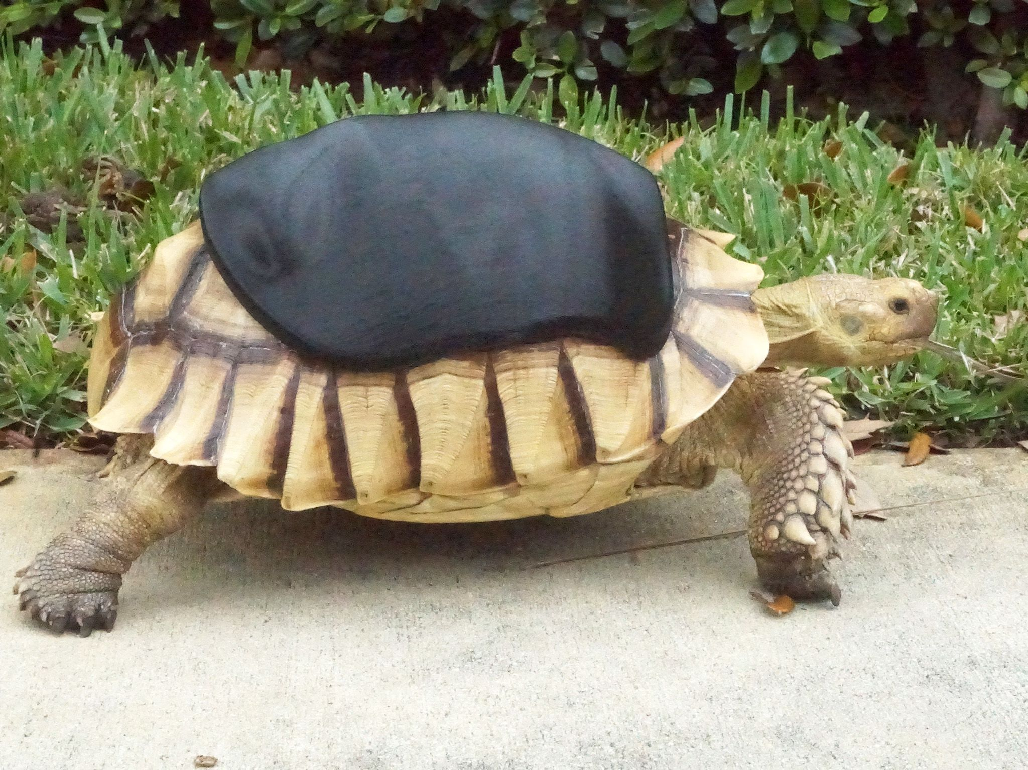 Deerfield Beach, FL:  George, the sulcata tortoise takes a stroll in his new shell.  This image... [Photo of the day - May 2018]