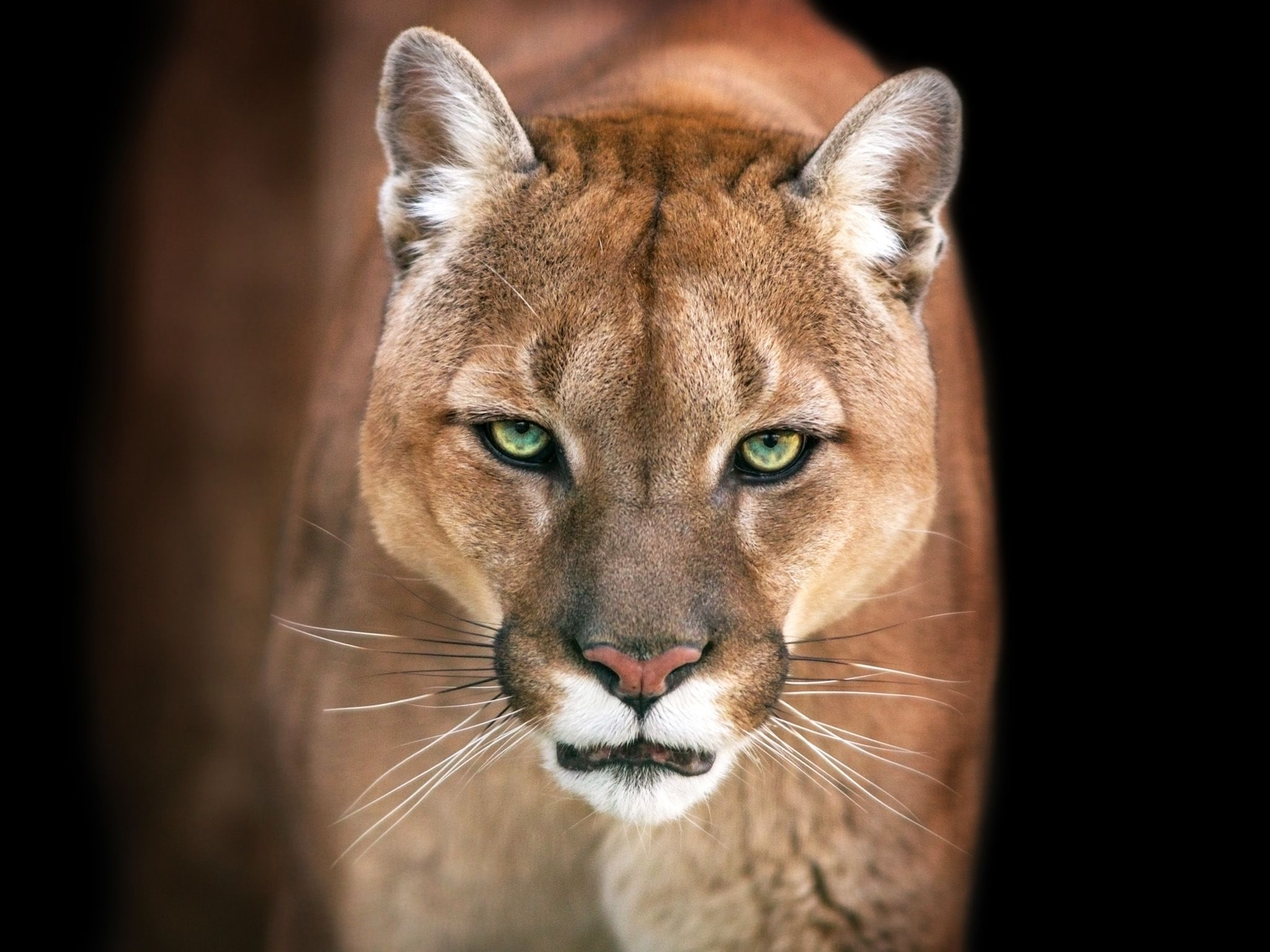 Puma.  This image is from Animal Fight Club. [Photo of the day - May 2018]