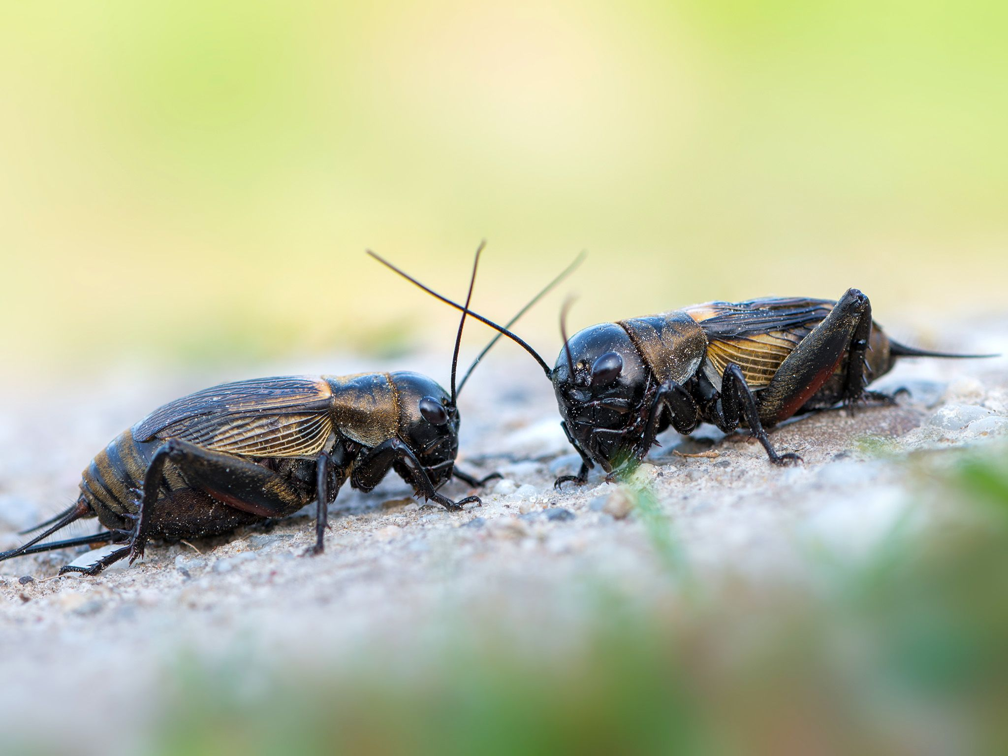 A male field cricket's love song is made by rubbing together veins on the backs of the wings,... [Photo of the day - May 2018]