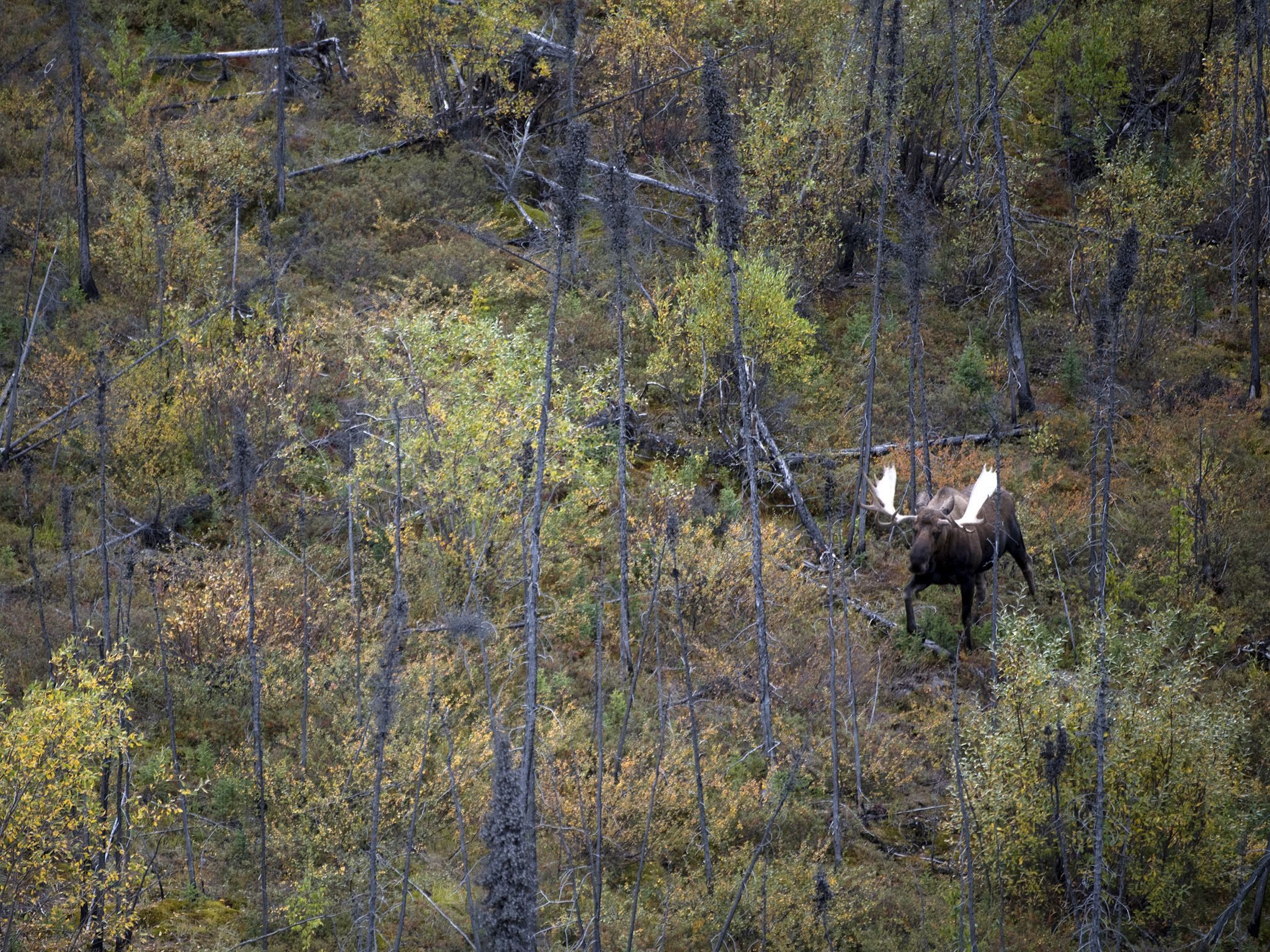Fairbanks, AK:  A male moose makes his way through the wilderness during mating season.  This... [Photo of the day - May 2018]