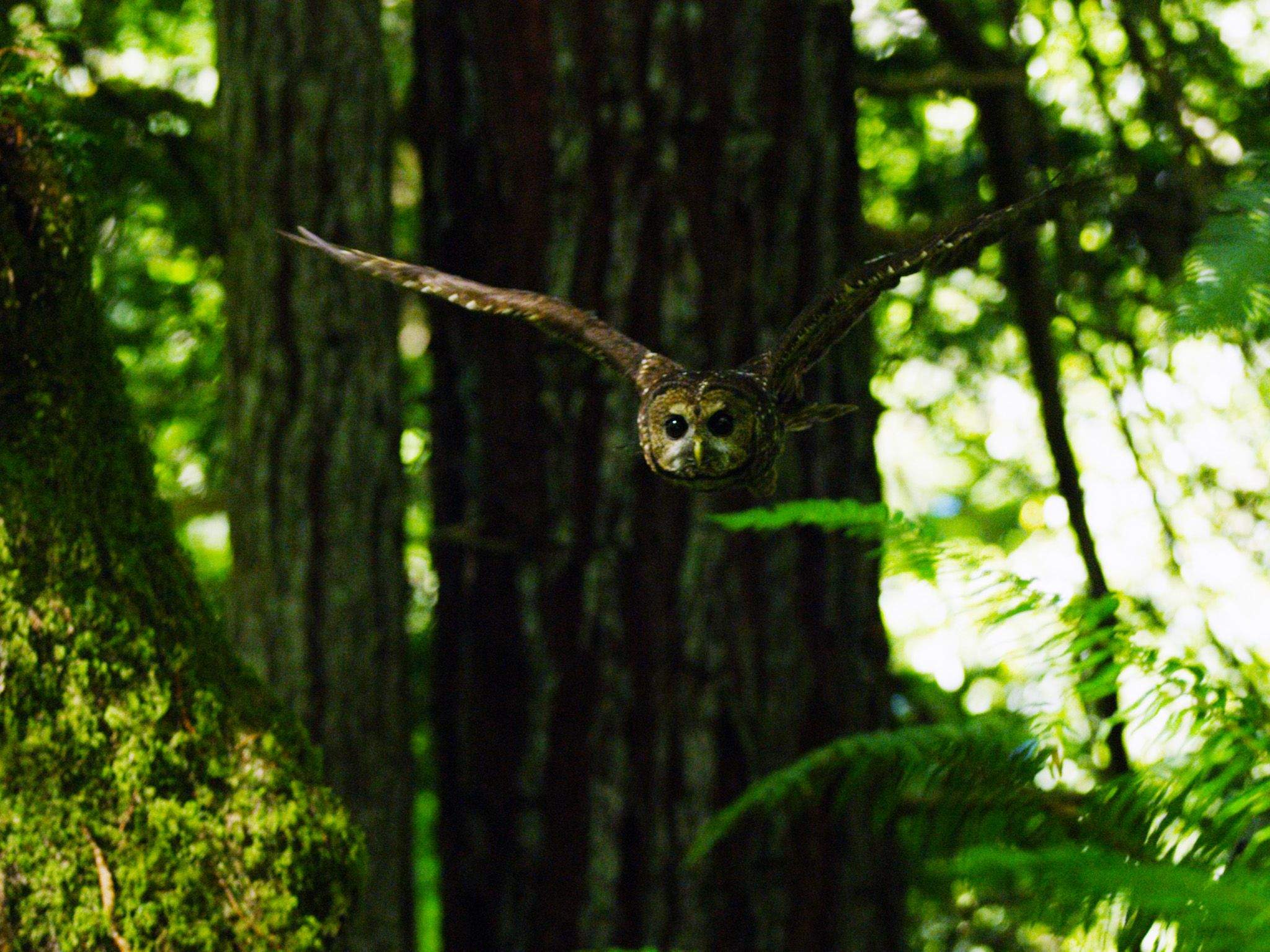 California: Northern Spotted Owl gliding through forest.  This image is from America the... [Photo of the day - June 2018]