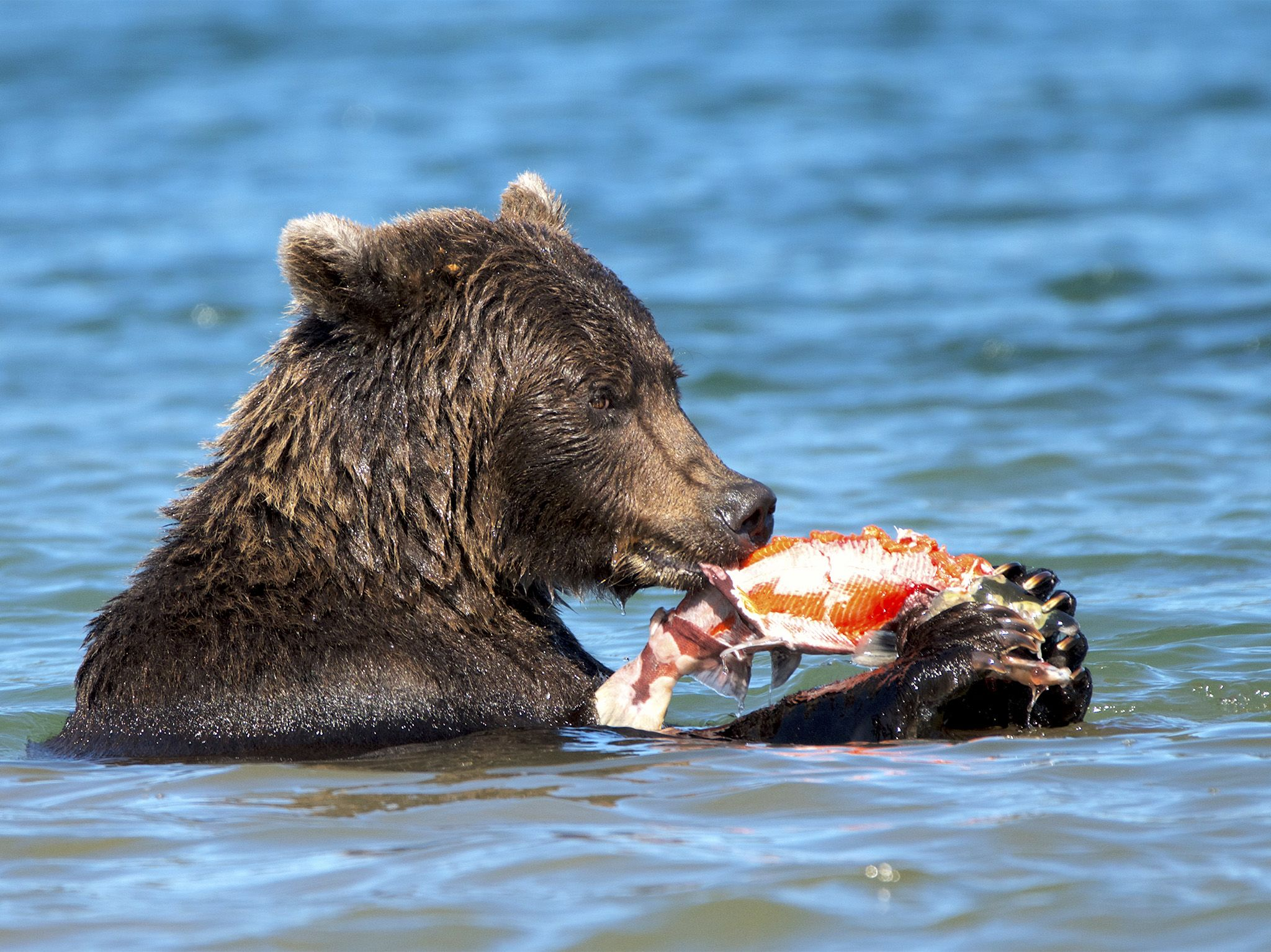 Kamchatka, Russia:  Bear stripping salmon.  This image is from Wild Russia. [Photo of the day - June 2018]