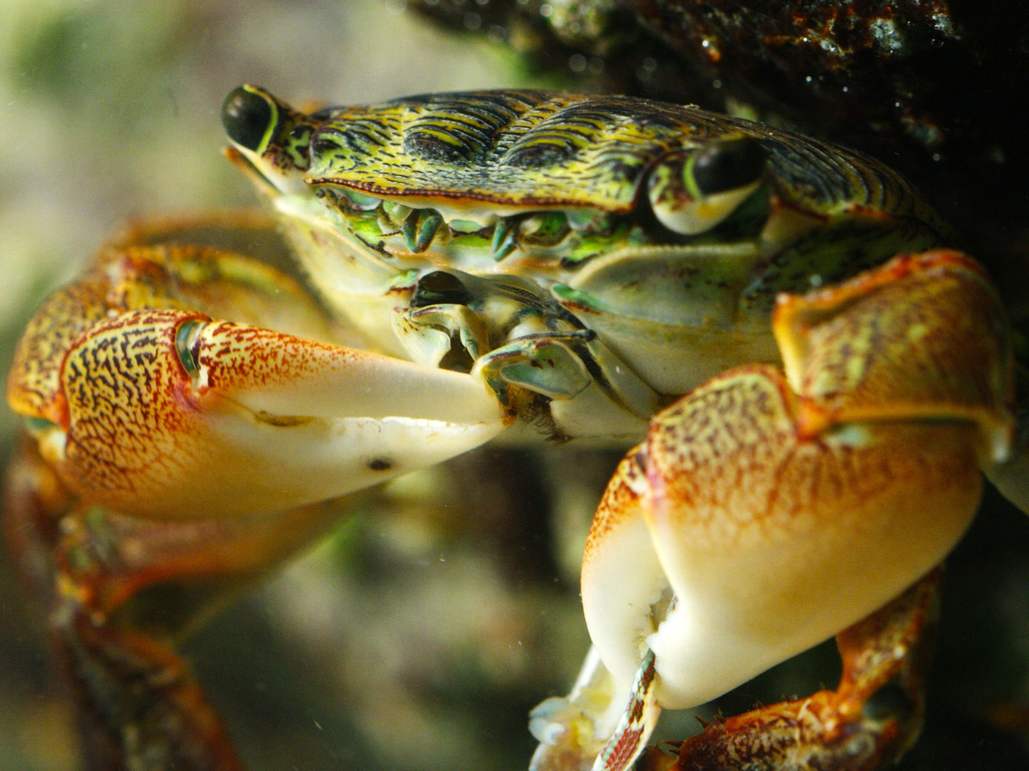 Elkhorn Slough, CA:  Lined Shore Crab gobbling up Abalone.  This image is from America the... [Photo of the day - June 2018]