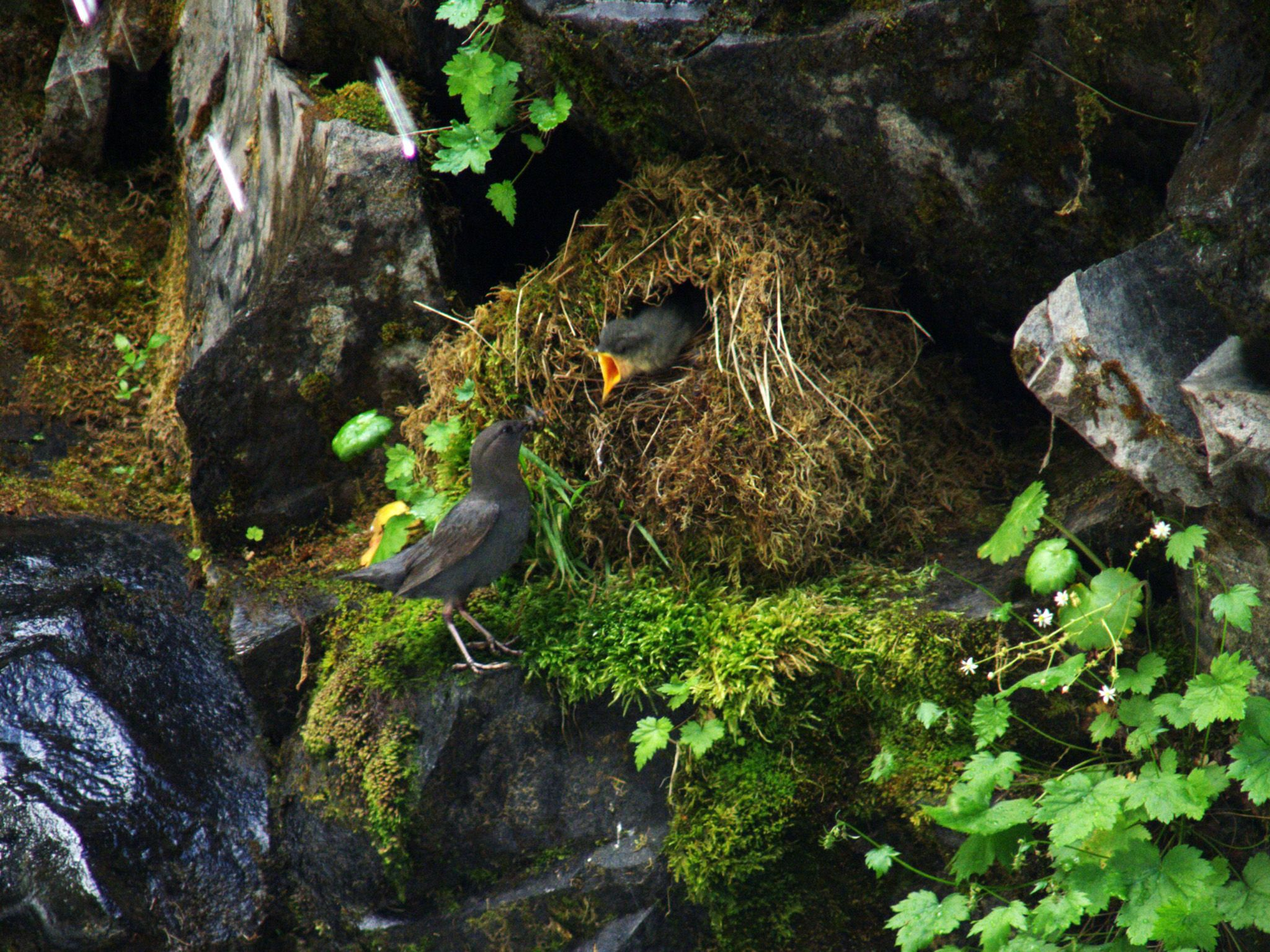 Mt Rainier National Park, WA:  An American Dipper in a nest.  This image is from America the... [Photo of the day - 六月 2018]