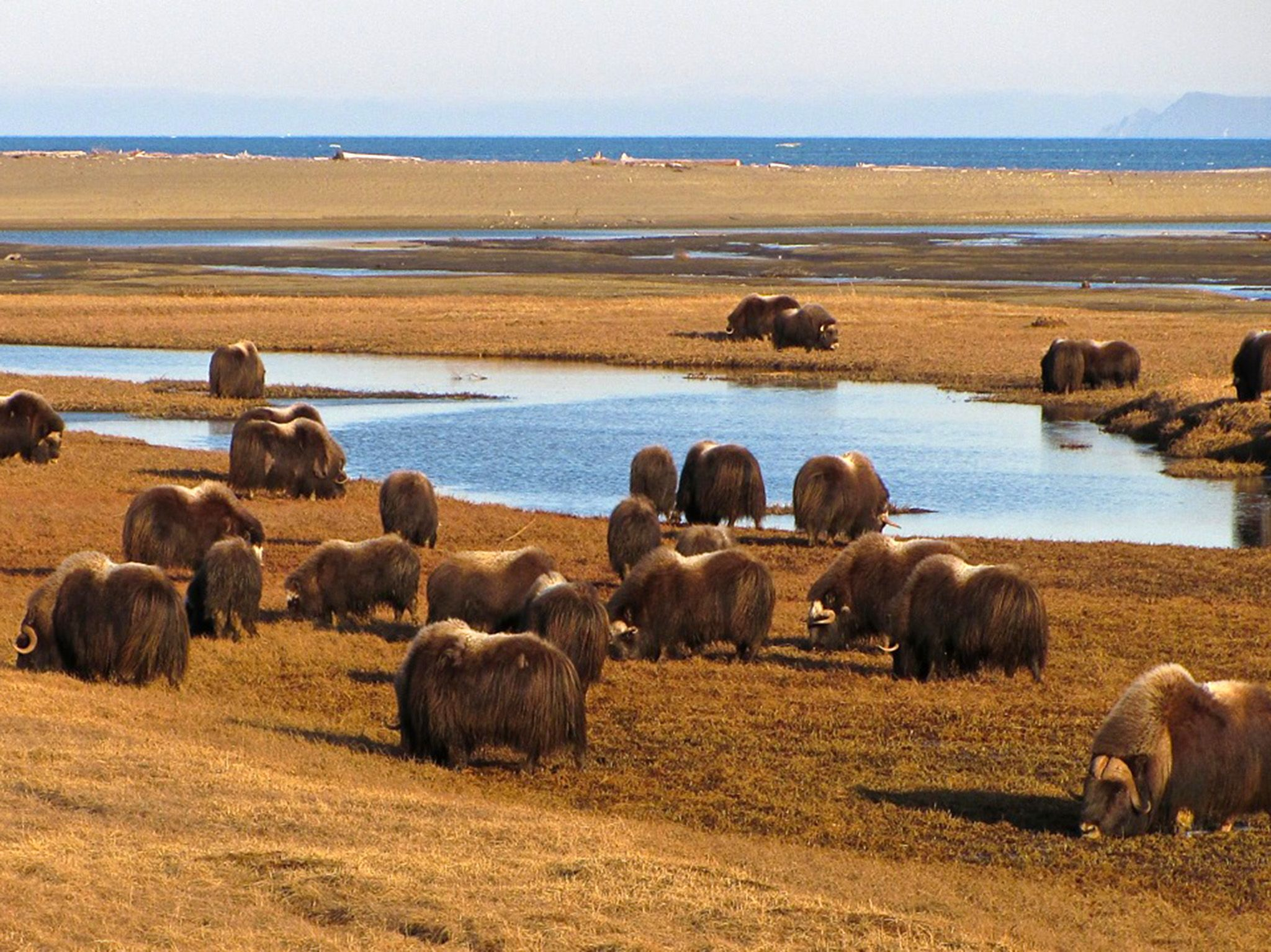 Arctic National Park:  Musk Ox roam the endless Tundra in and North of the Gates of the Arctic... [Photo of the day - 六月 2018]