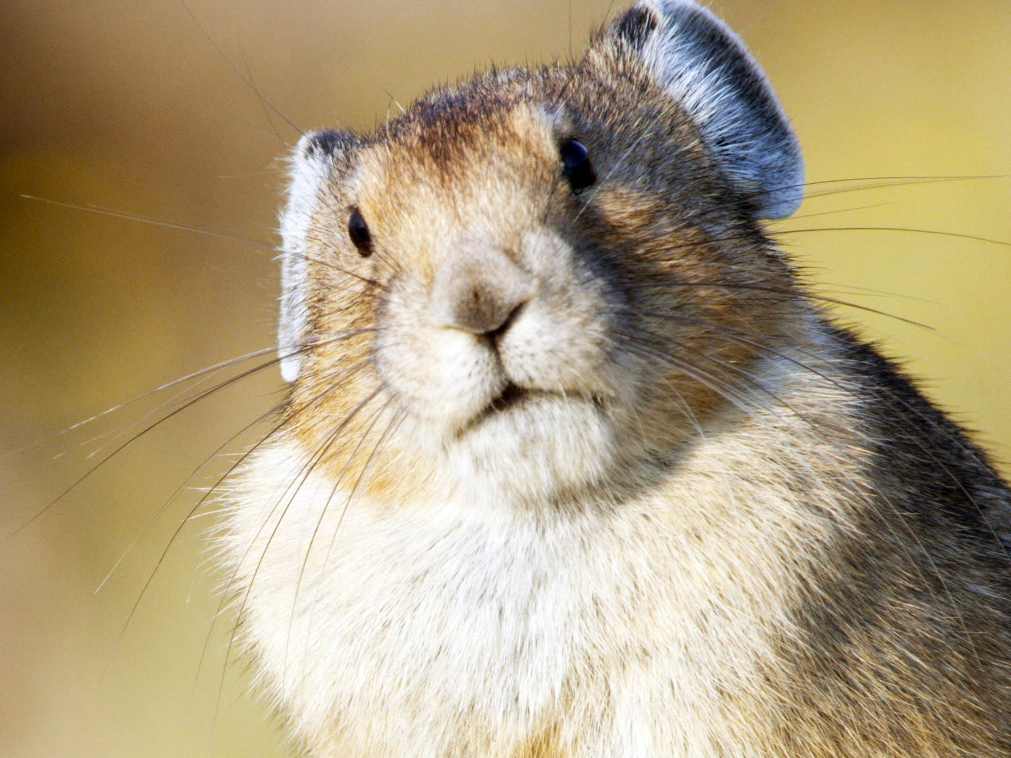 Glacier National Park, MT:  An American Pika looking at the camera. This image is from America... [Photo of the day - June 2018]