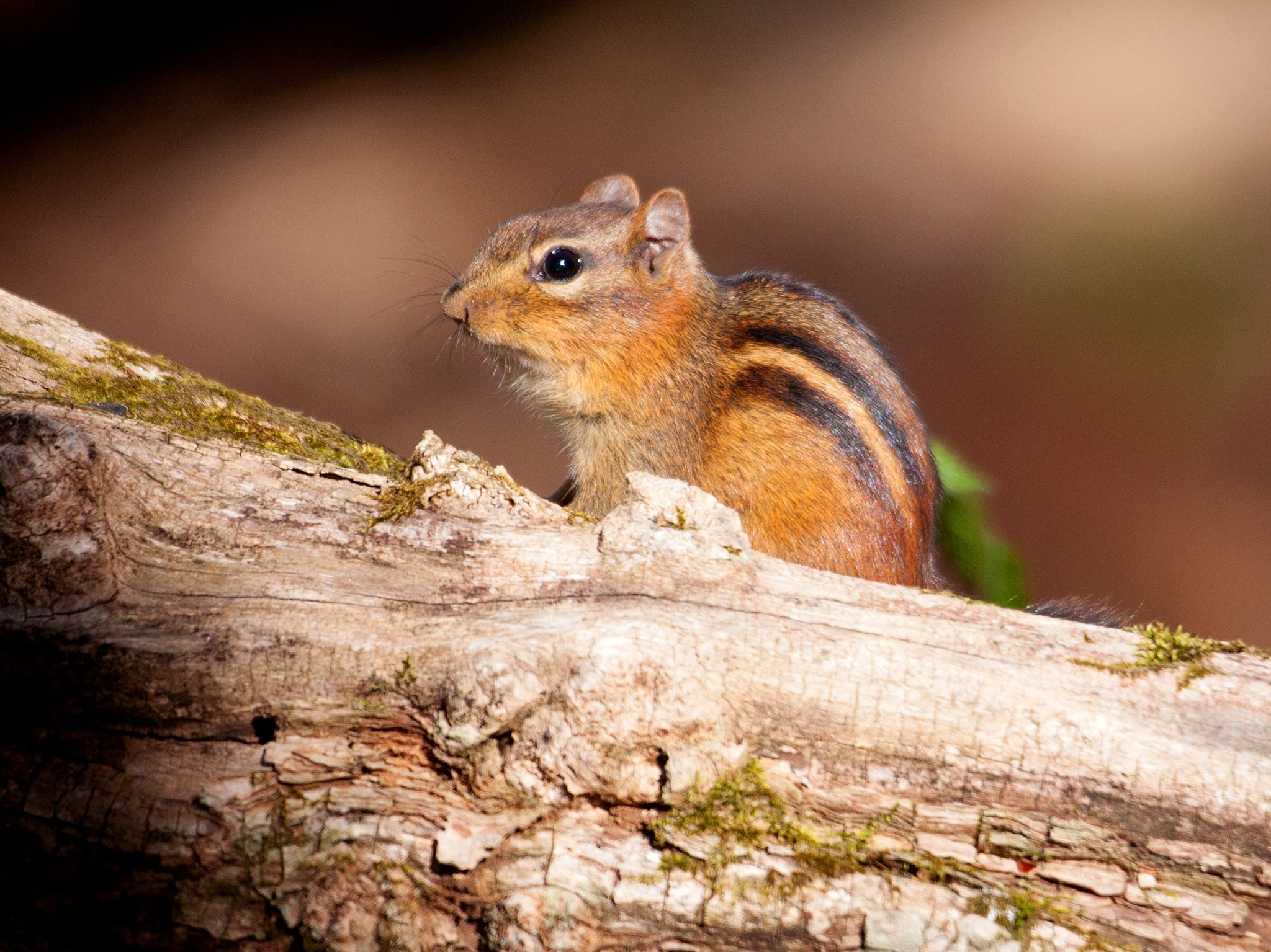 Great Smoky Mountains National Park: Naughty by nature - the Eastern Chipmunk is a common sight... [Photo of the day - June 2018]