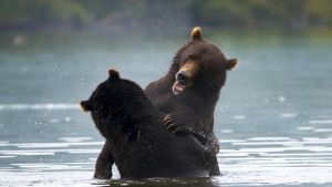 Kamchatka, Russia:  Bears spar in... [Photo of the day - 16 六月 2018]