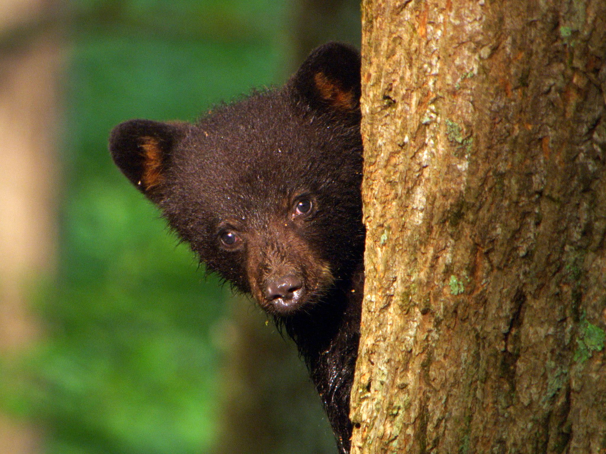 Great Smoky Mountains National Park: Little black bear cubs are curious and start early to... [Photo of the day - June 2018]