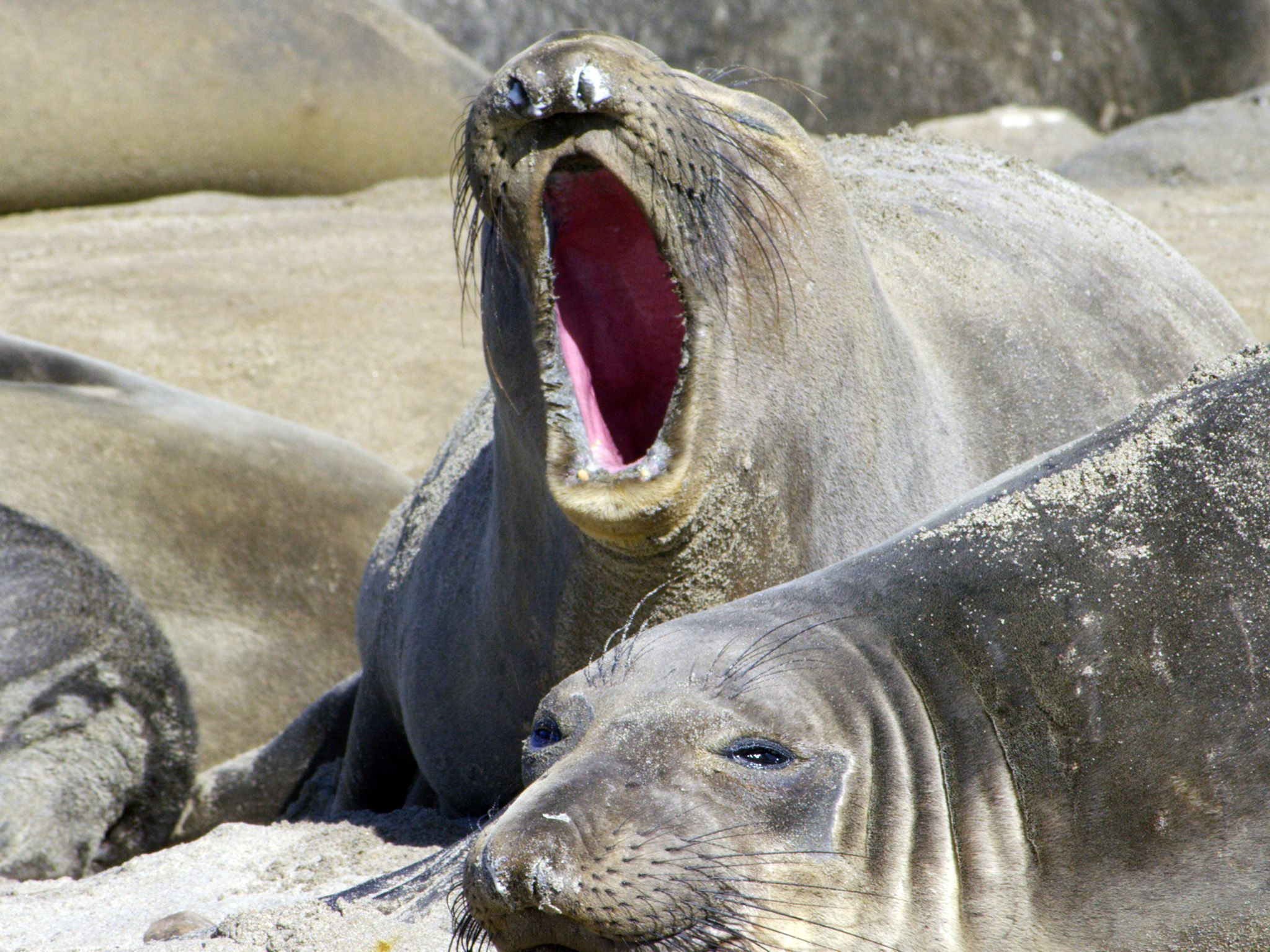 Big Sur, CA:  An Elephant Seal yawning while on the beach. This image is from America the... [Foto del giorno - luglio 2018]
