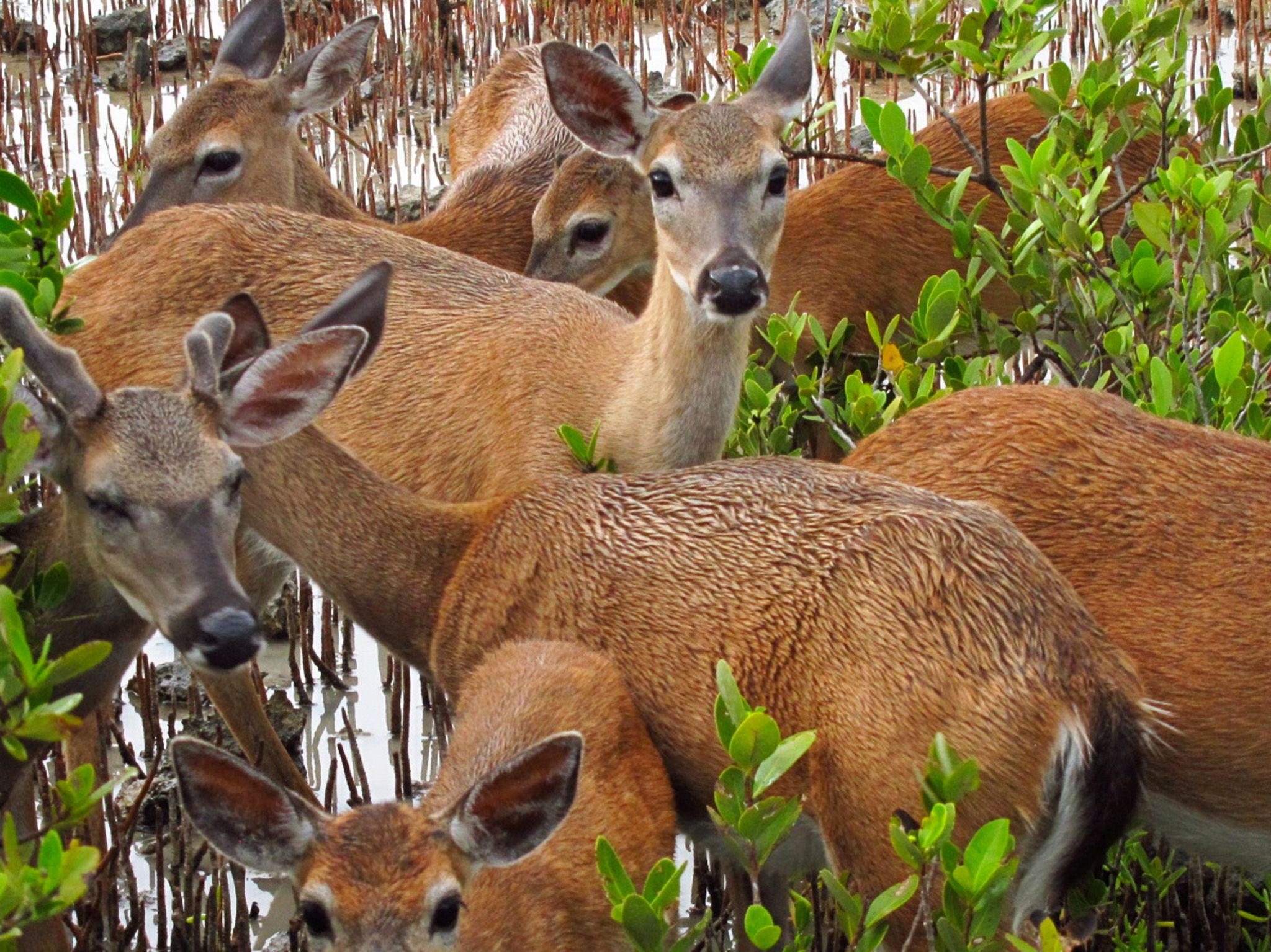 Everglades National Park:  A herd of key deer - the smallest of all North American deer only... [Photo of the day - 七月 2018]
