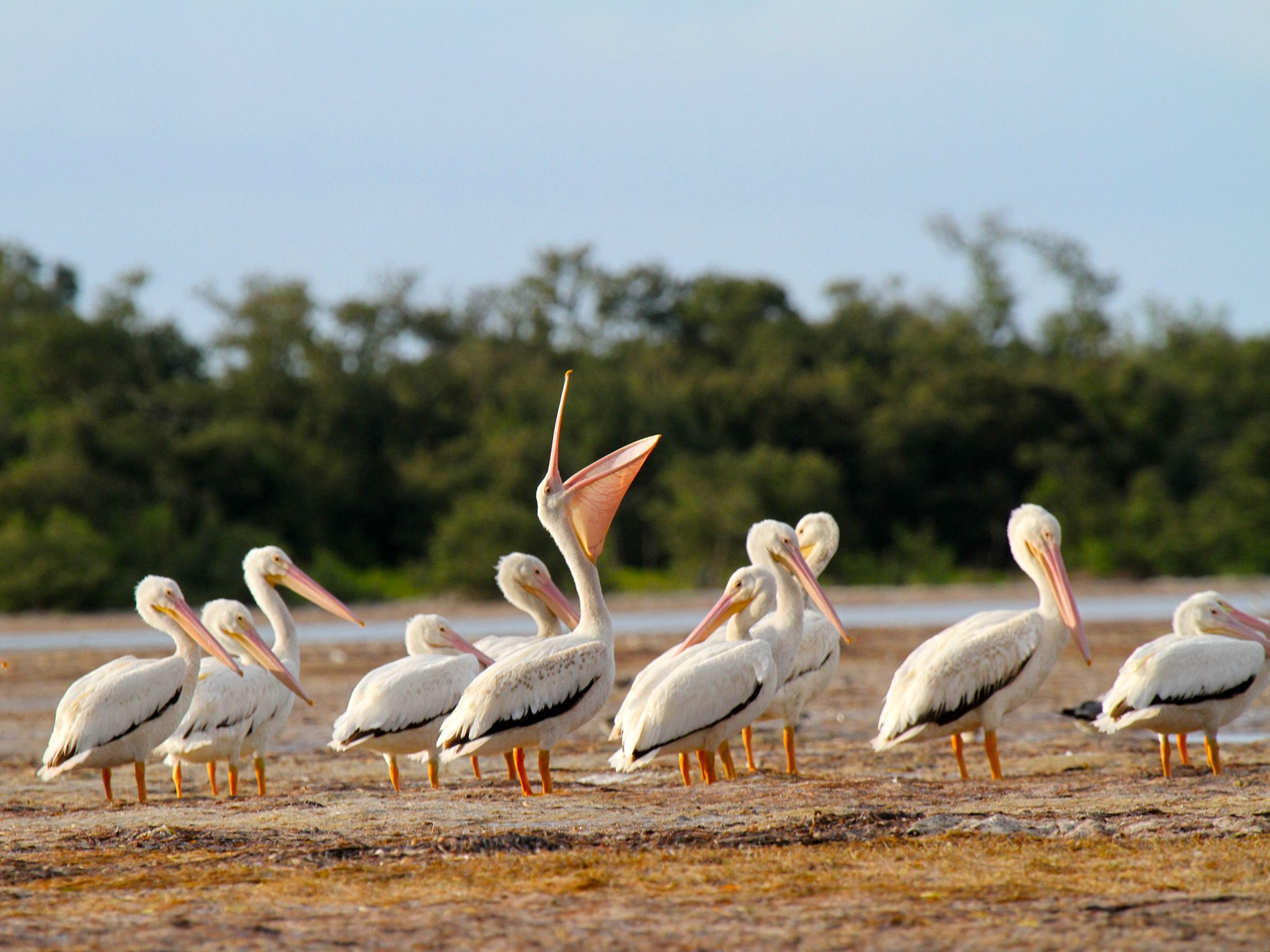 Everglades National Park:  The Everglades are rich fishing grounds for the white pelican.  This... [Photo of the day - 七月 2018]