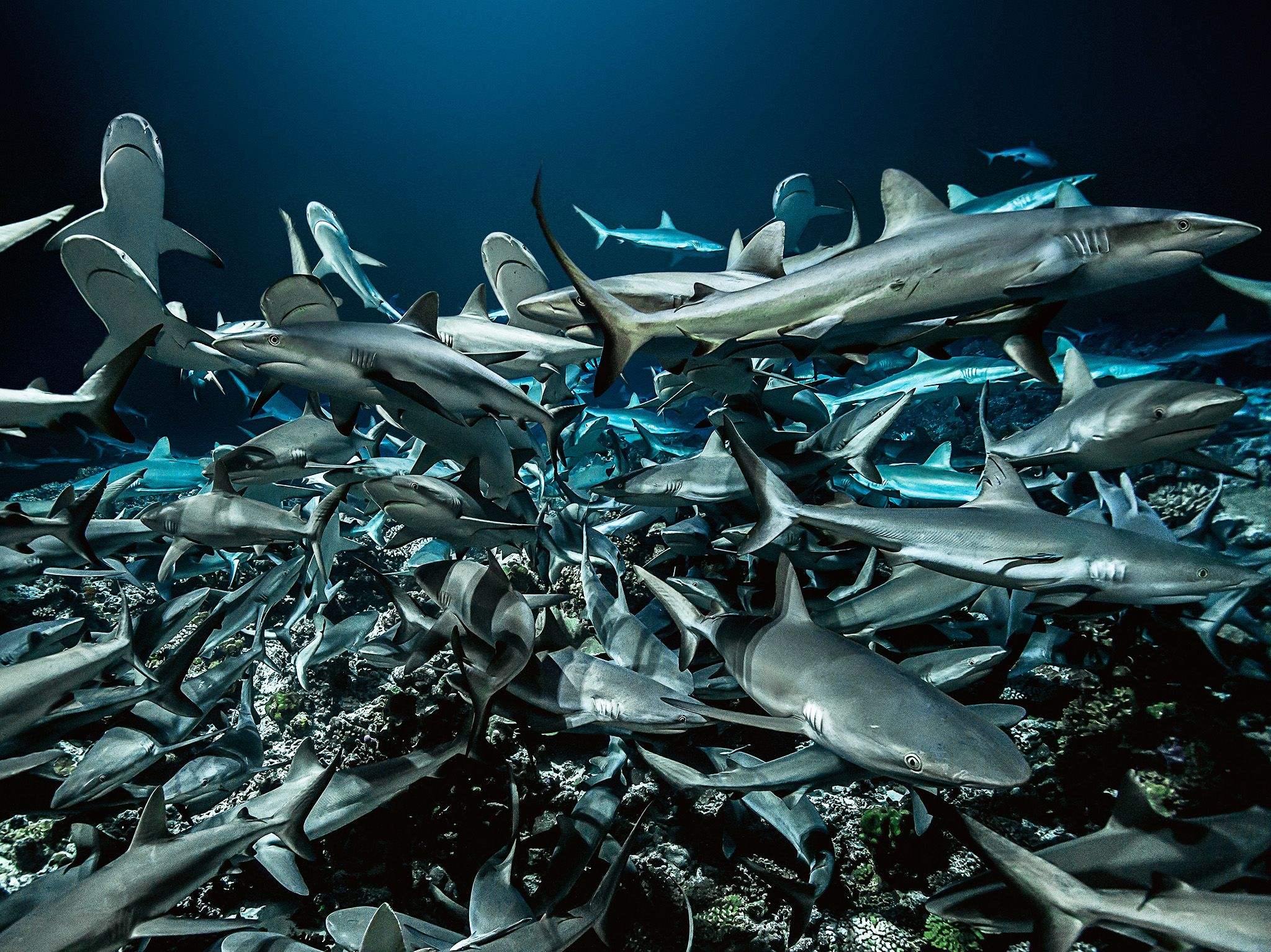 Fakarava:  700 sharks were identified in the south pass of Fakarava. This image is from 700 Sharks. [Photo of the day - 七月 2018]