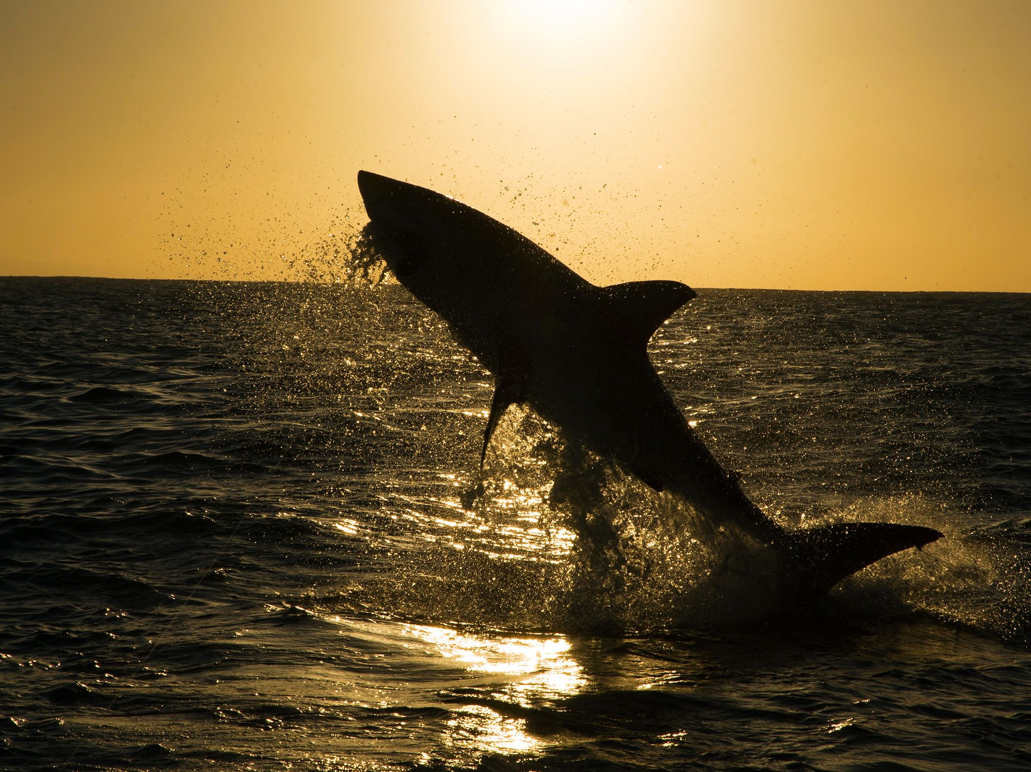 Mossel Bay, South Africa:  A silhouette of a Great white shark (Carcharodon carcharias)... [Photo of the day - July 2018]
