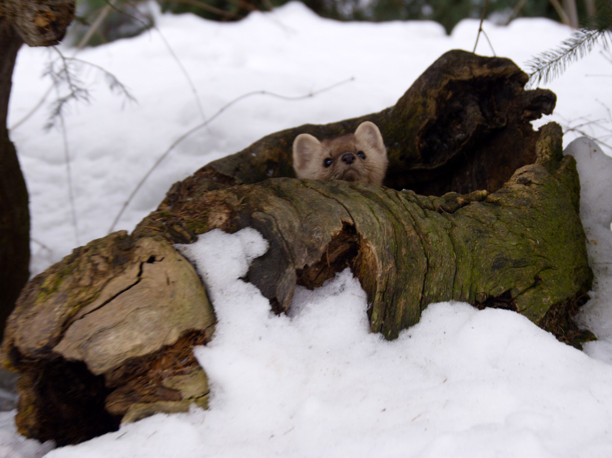 Kalispell , MT:  Pine Marten peaking it's head from inside a fallen tree.  This image is from... [Photo of the day - July 2018]