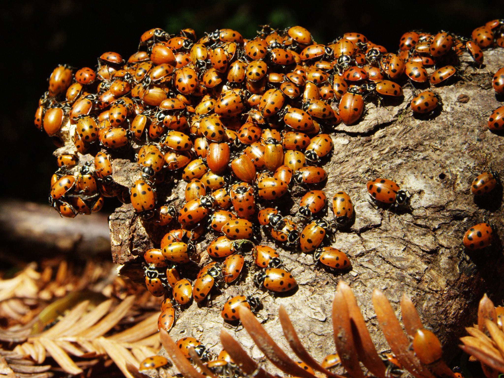 Redwood National Park, CA:  Aggregation of Convergent Ladybugs.  This image is from America the... [Foto del giorno - luglio 2018]