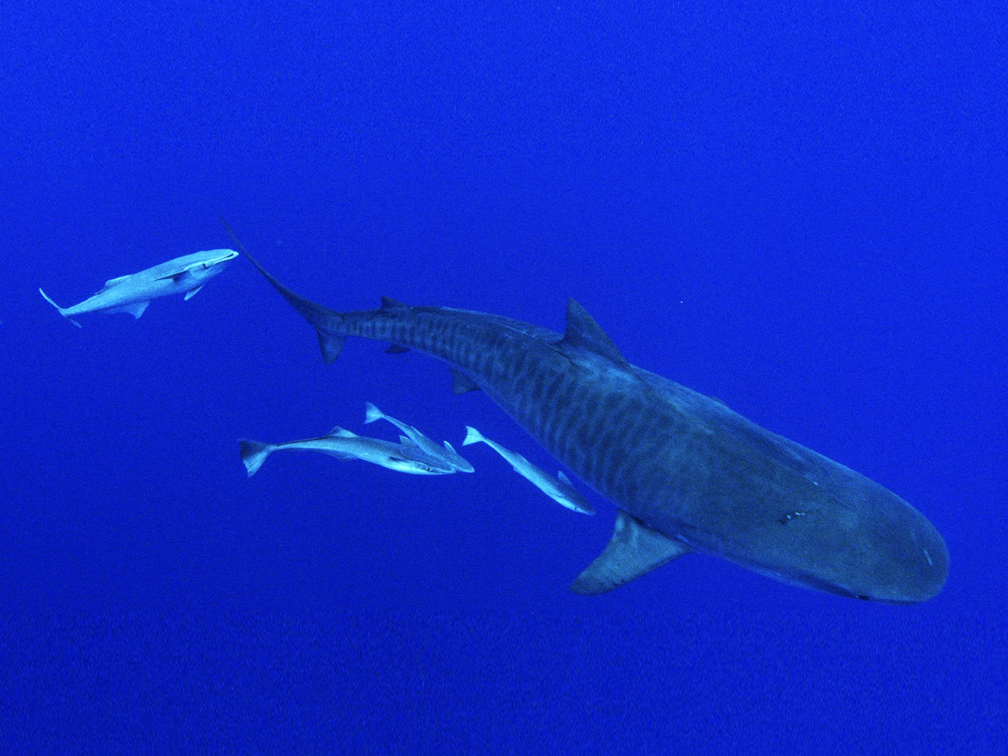 Ascension Island, St Helena:  Tiger shark with remora fish.  This image is from Shark v. Tuna. [Photo of the day - July 2018]