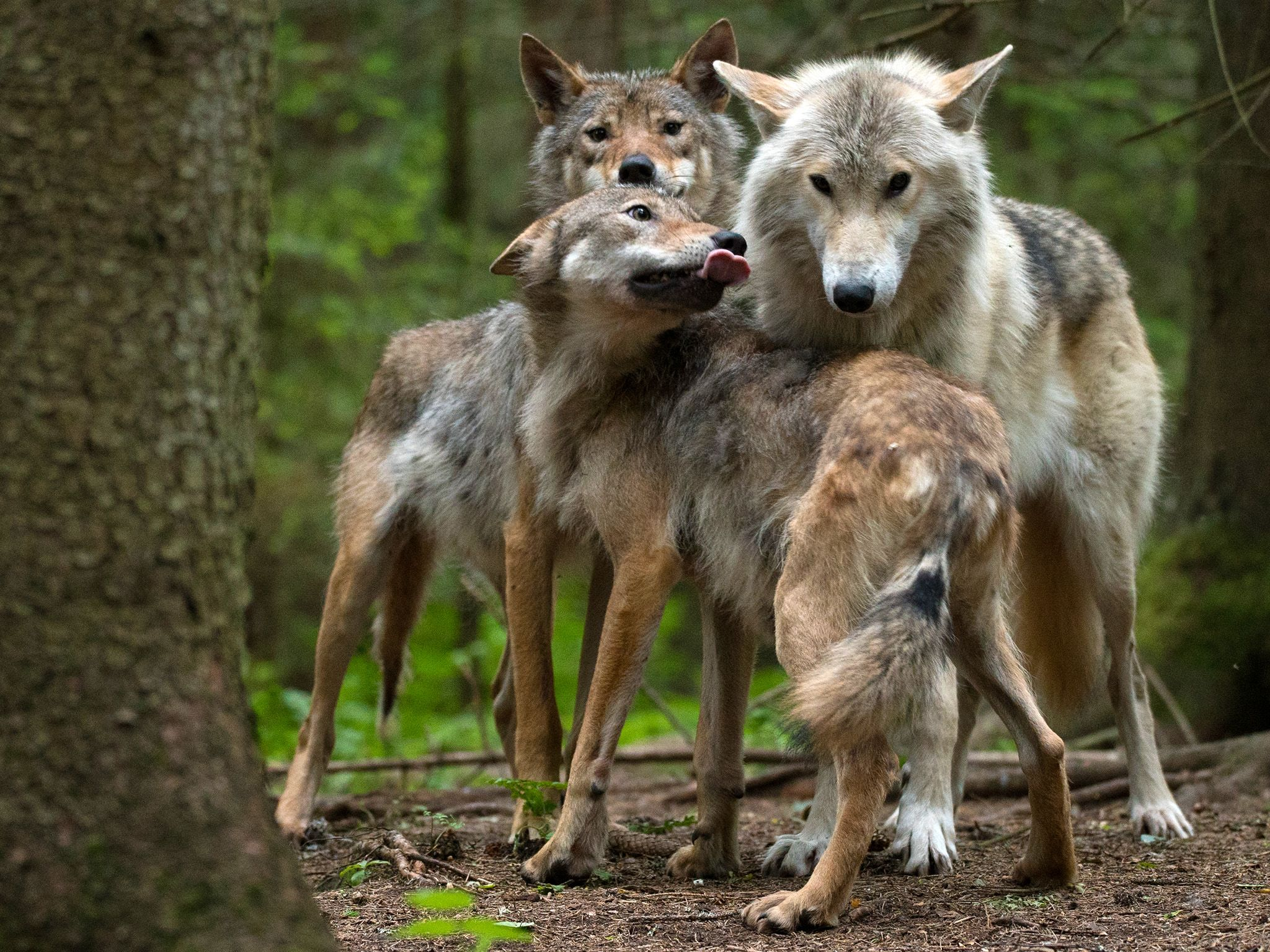 Finland:  Two yearling gray wolves (Canis lupus) greeting female wolf. This image is from Wolf... [Photo of the day - August 2018]