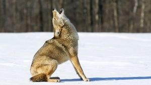 A coyote howls. The coyote's... [Photo of the day - 15 AUGUST 2018]