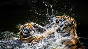Tigers wrestle in the water.  Tigers... [Photo of the day - 17 八月 2018]