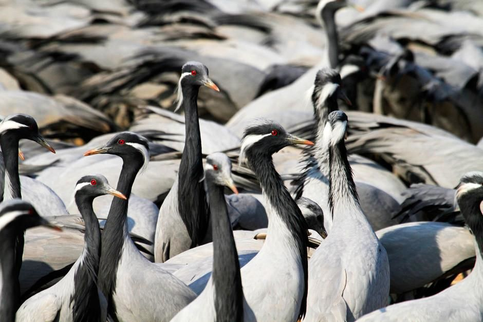 Gir National Park, Gujarat, India: A large group of Common Cranes scout out their territory. ... [Photo of the day - أبريل 2012]