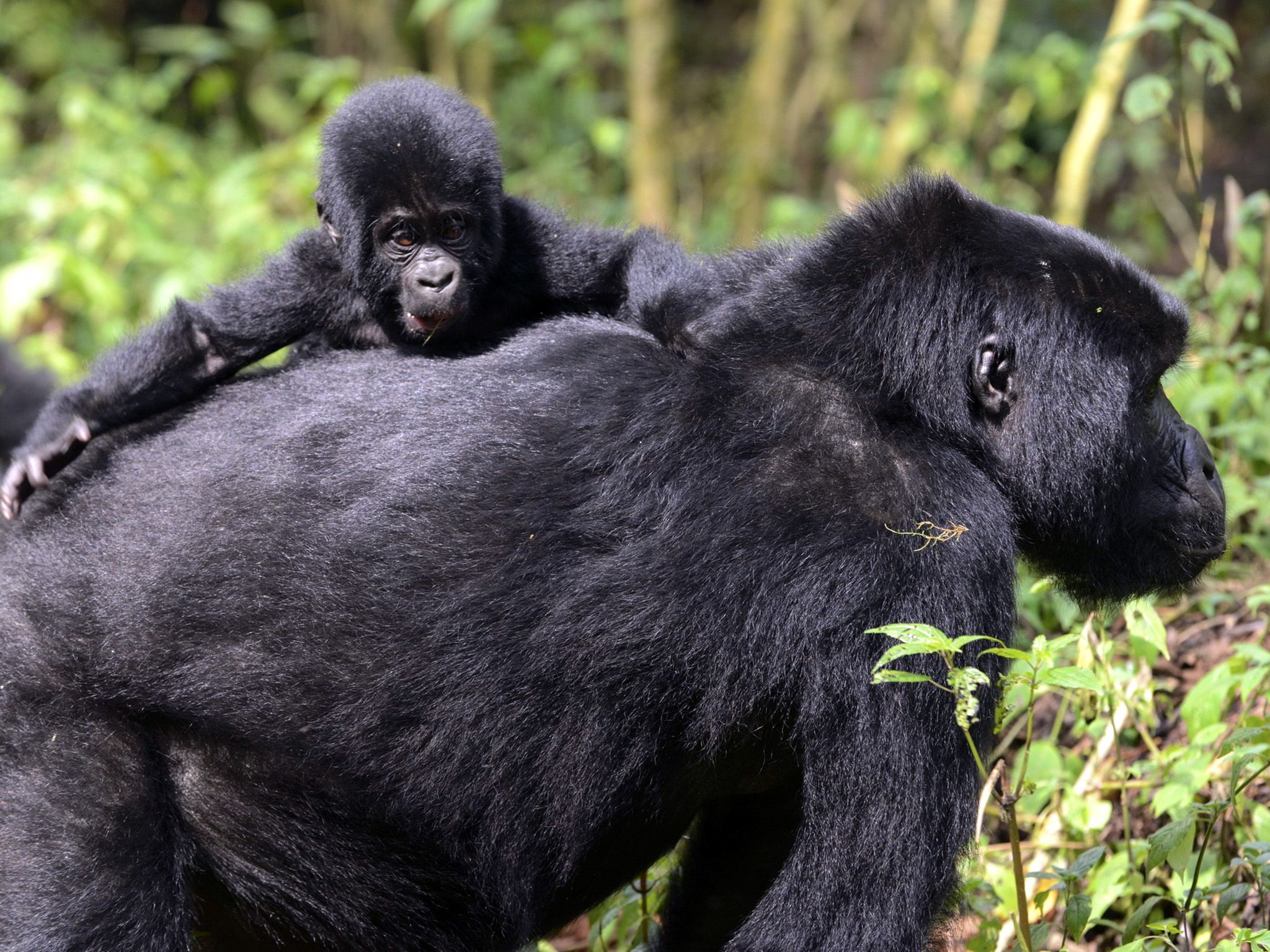 Uganda:  Bwindi is home to around 400 mountain gorillas – half of the world's population.... [Photo of the day - September 2018]