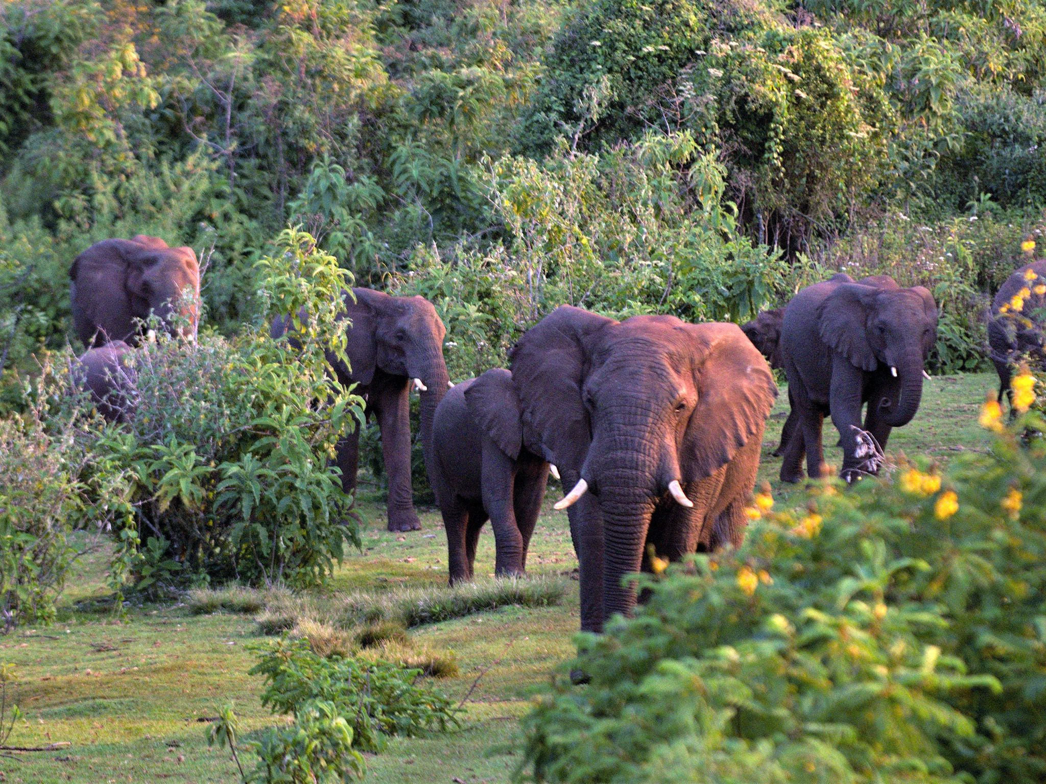 Uganda:  A herd of elephants on their way to the elephant caves. This image is from Wild Uganda. [Photo of the day - September 2018]